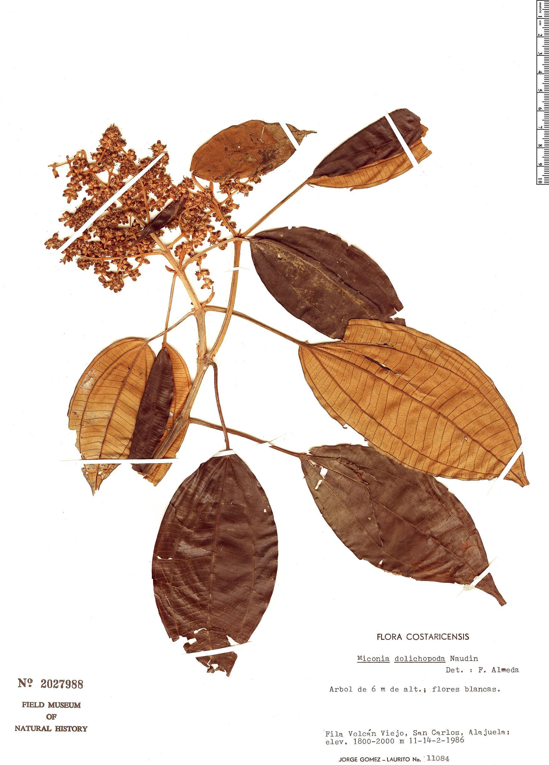 Specimen: Miconia dolichopoda