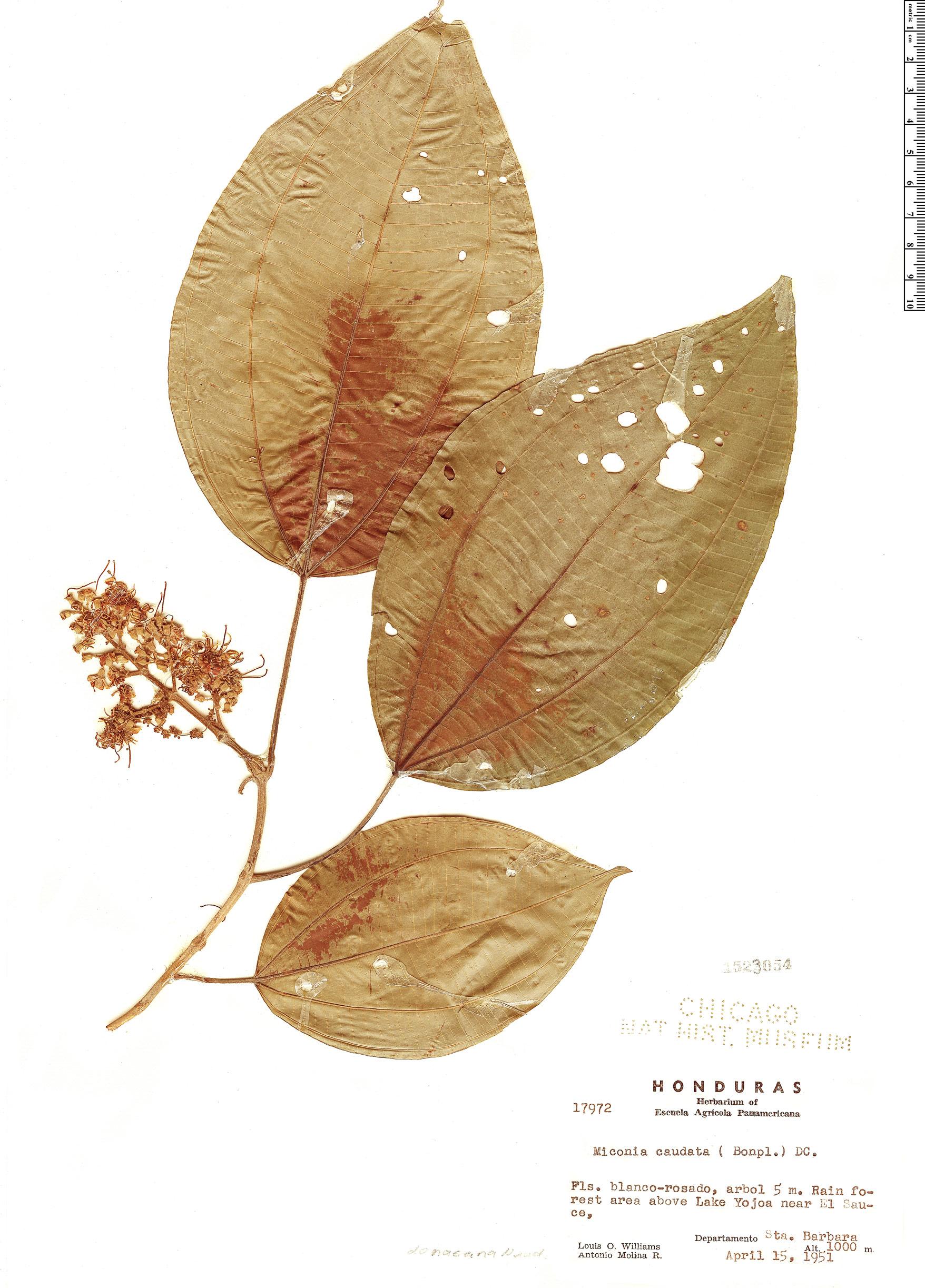 Specimen: Miconia donaeana