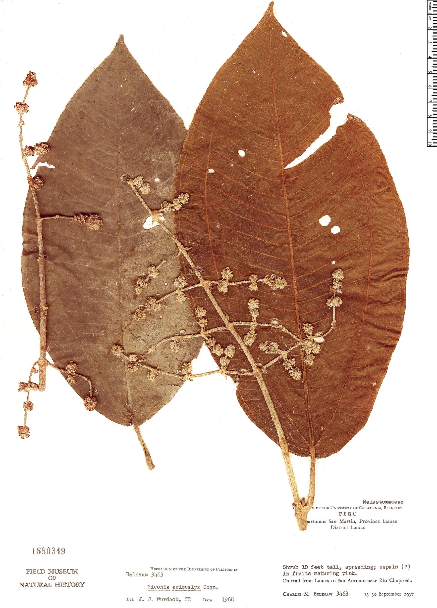 Specimen: Miconia eriocalyx