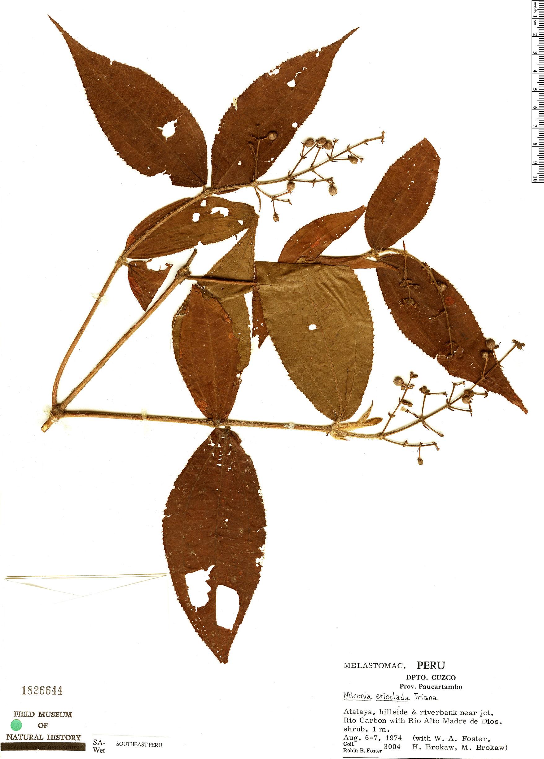 Specimen: Miconia erioclada