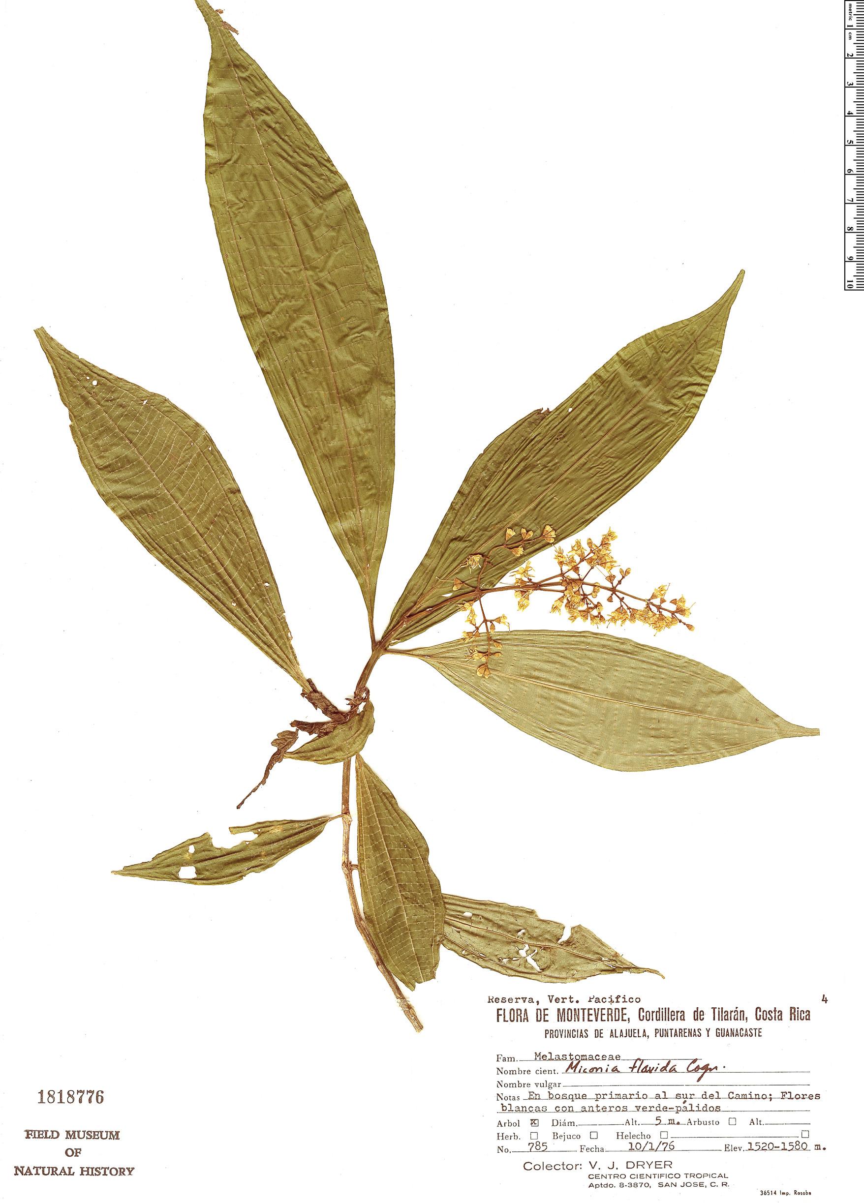 Specimen: Miconia gracilis