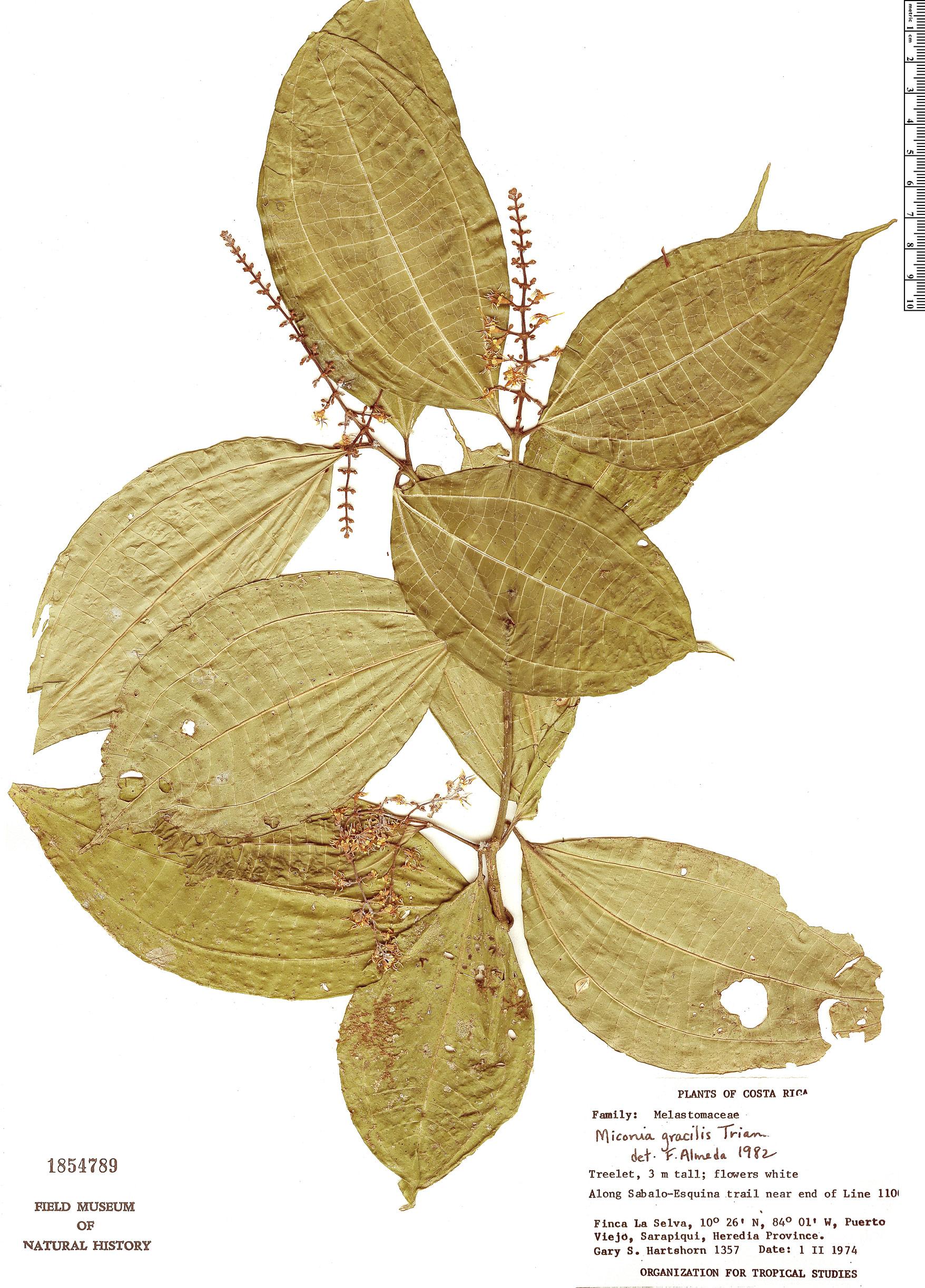 Espécime: Miconia gracilis