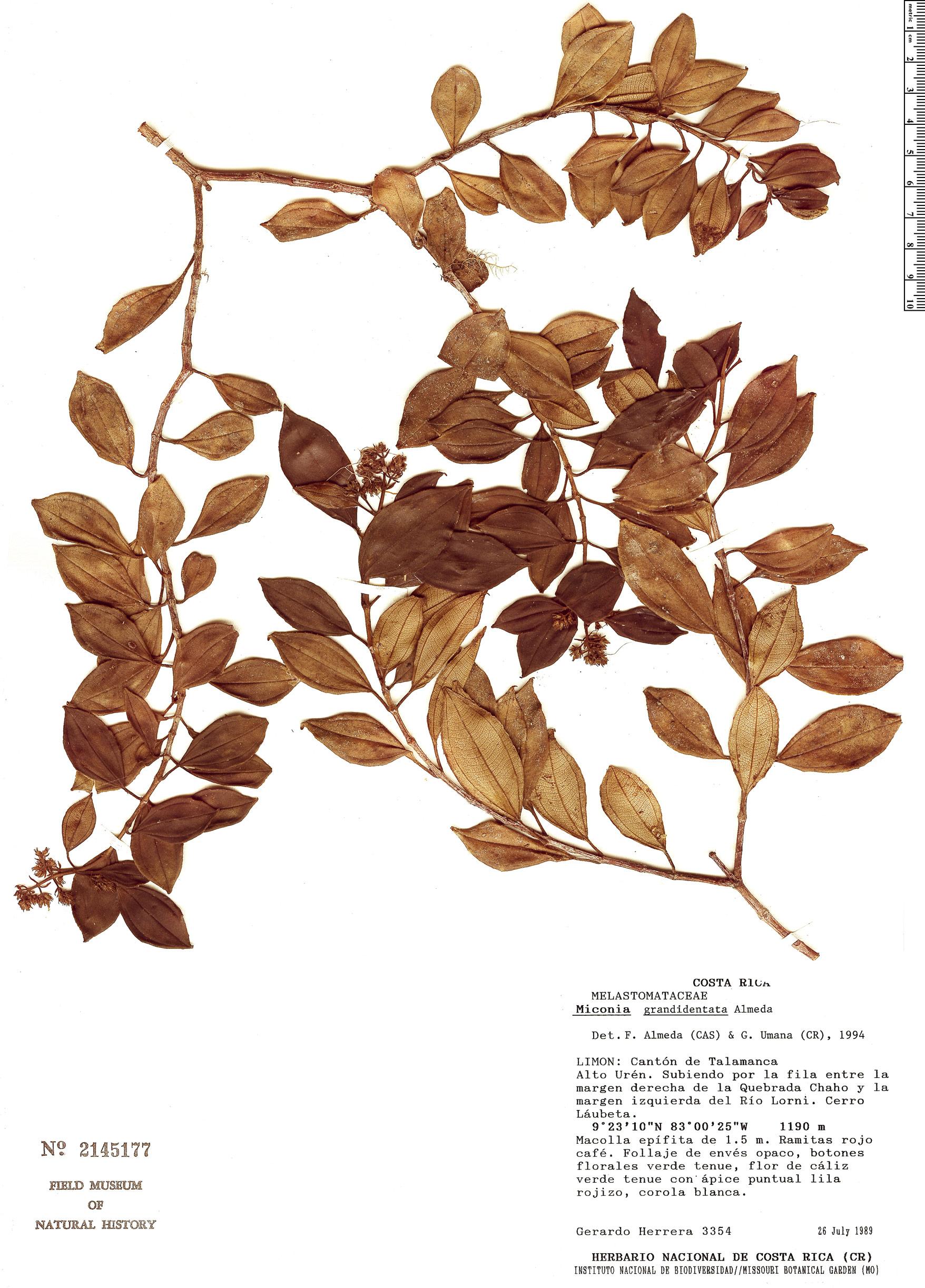Specimen: Miconia grandidentata