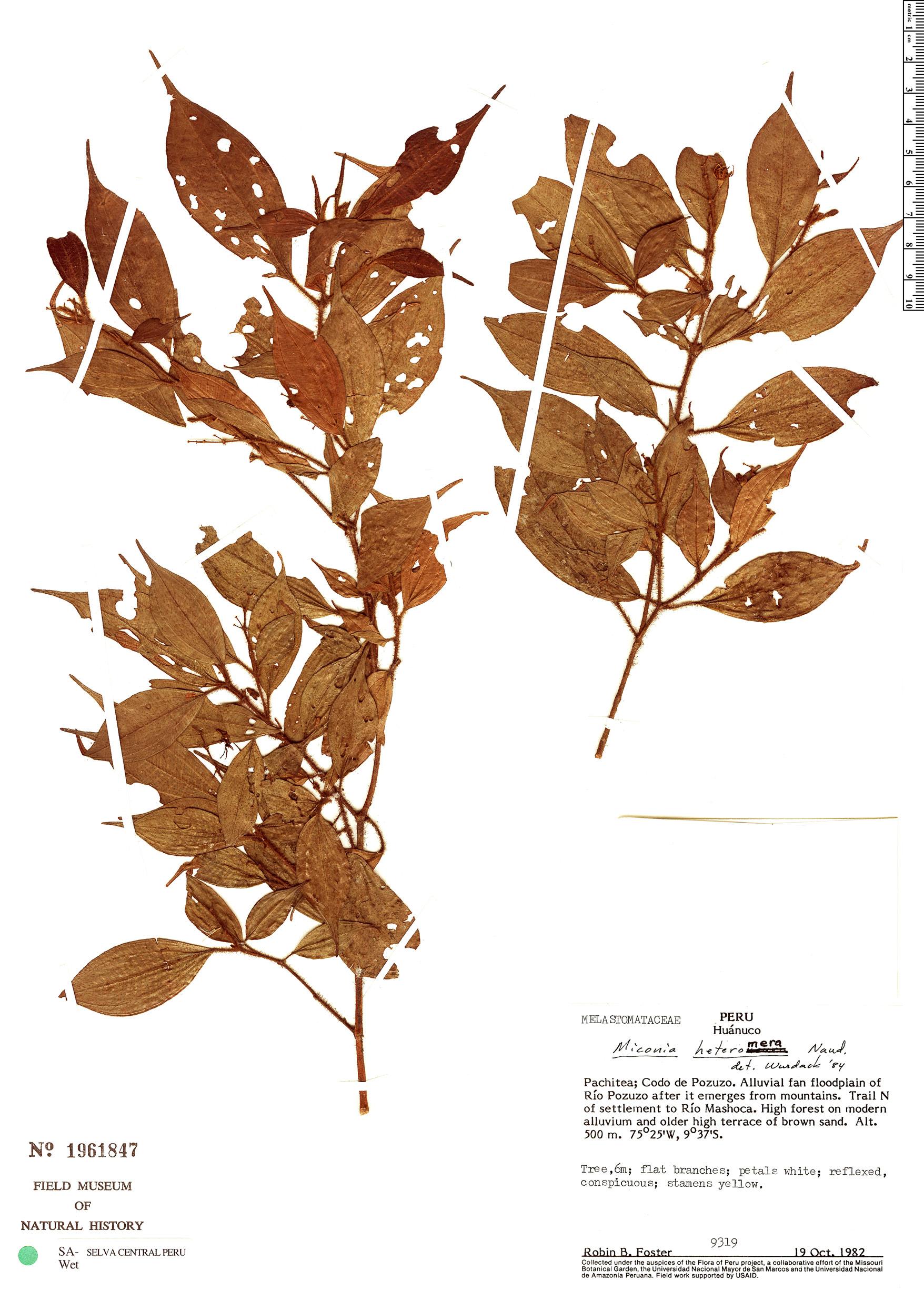 Specimen: Miconia heteromera