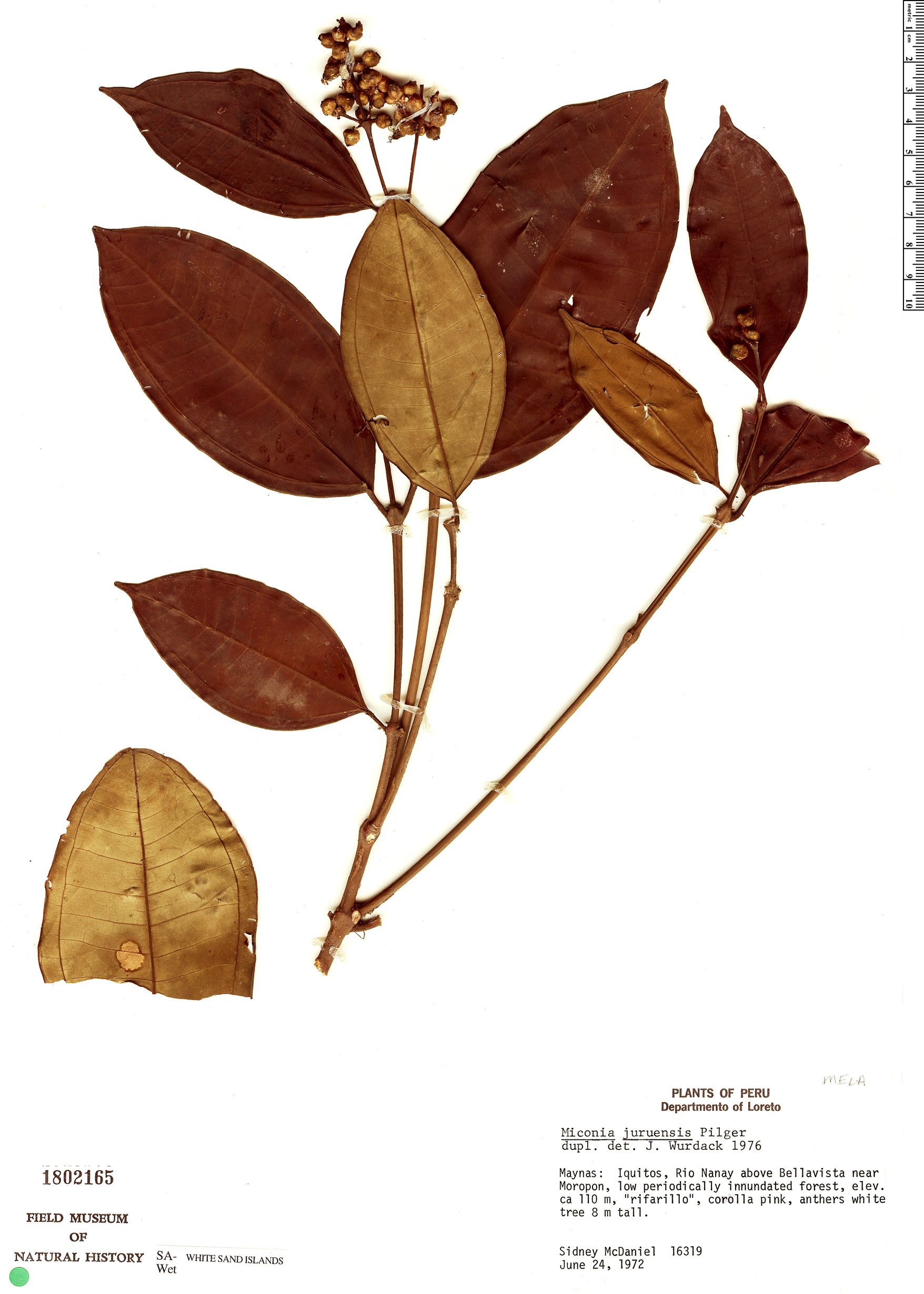 Espécimen: Miconia juruensis
