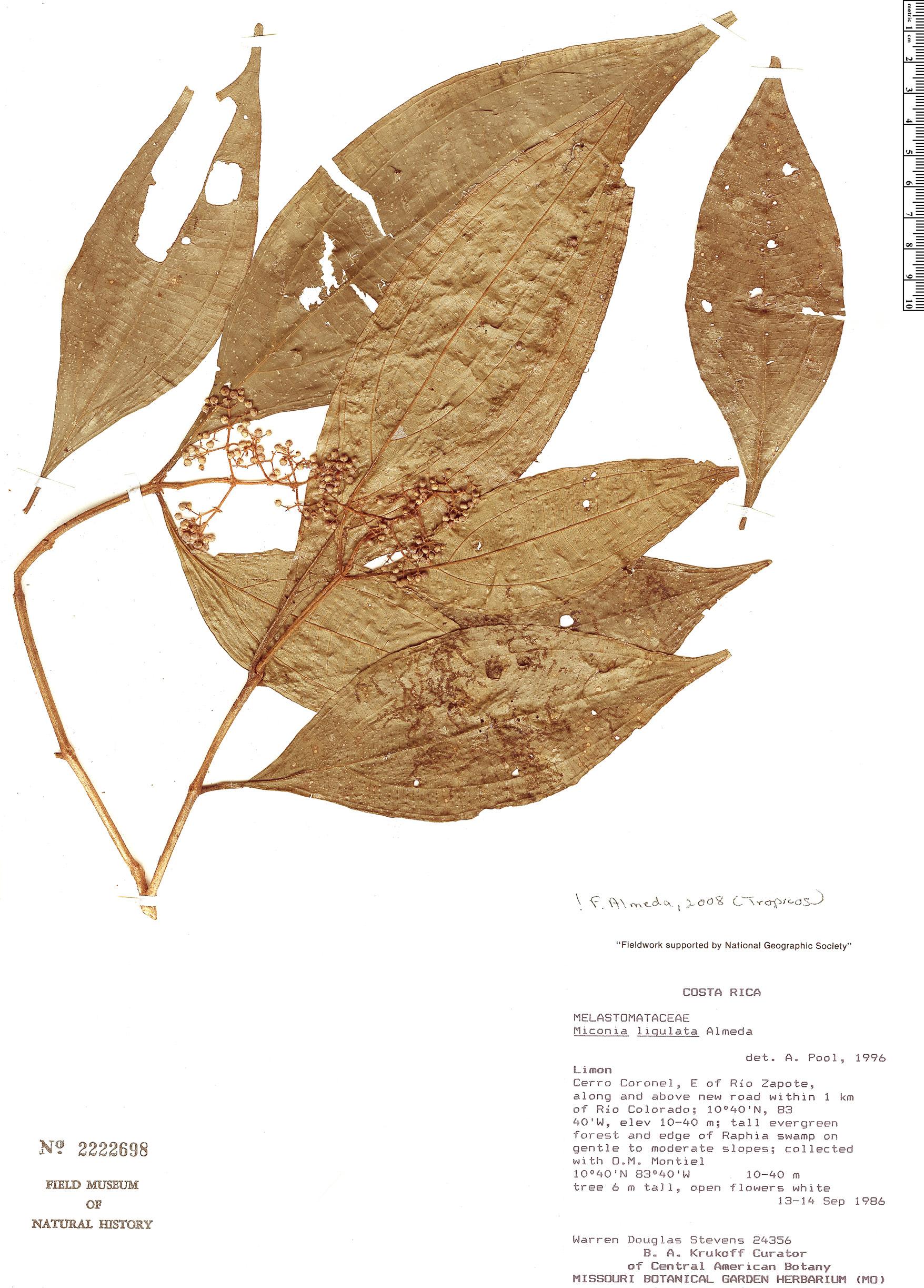Specimen: Miconia ligulata