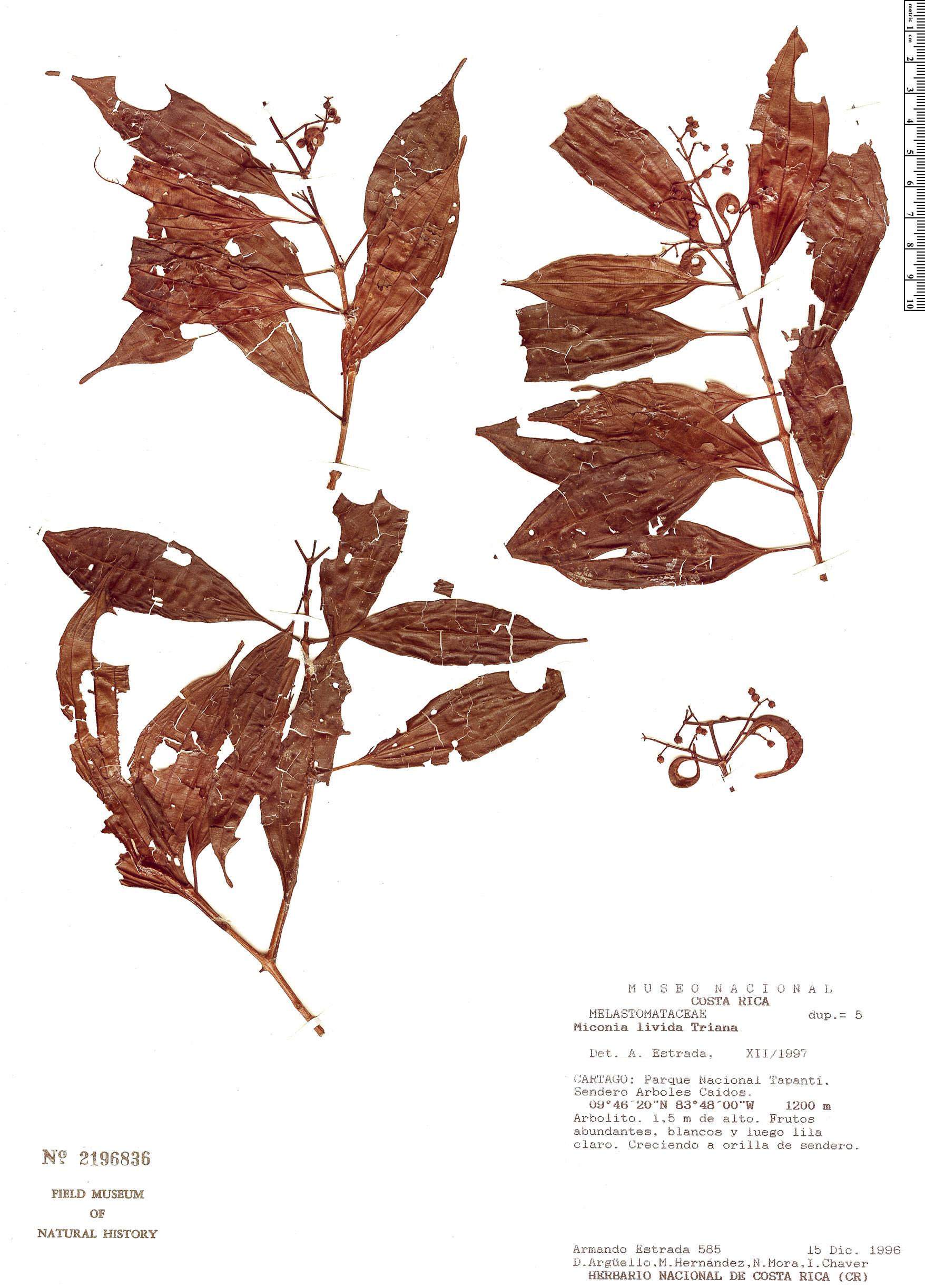 Specimen: Miconia livida