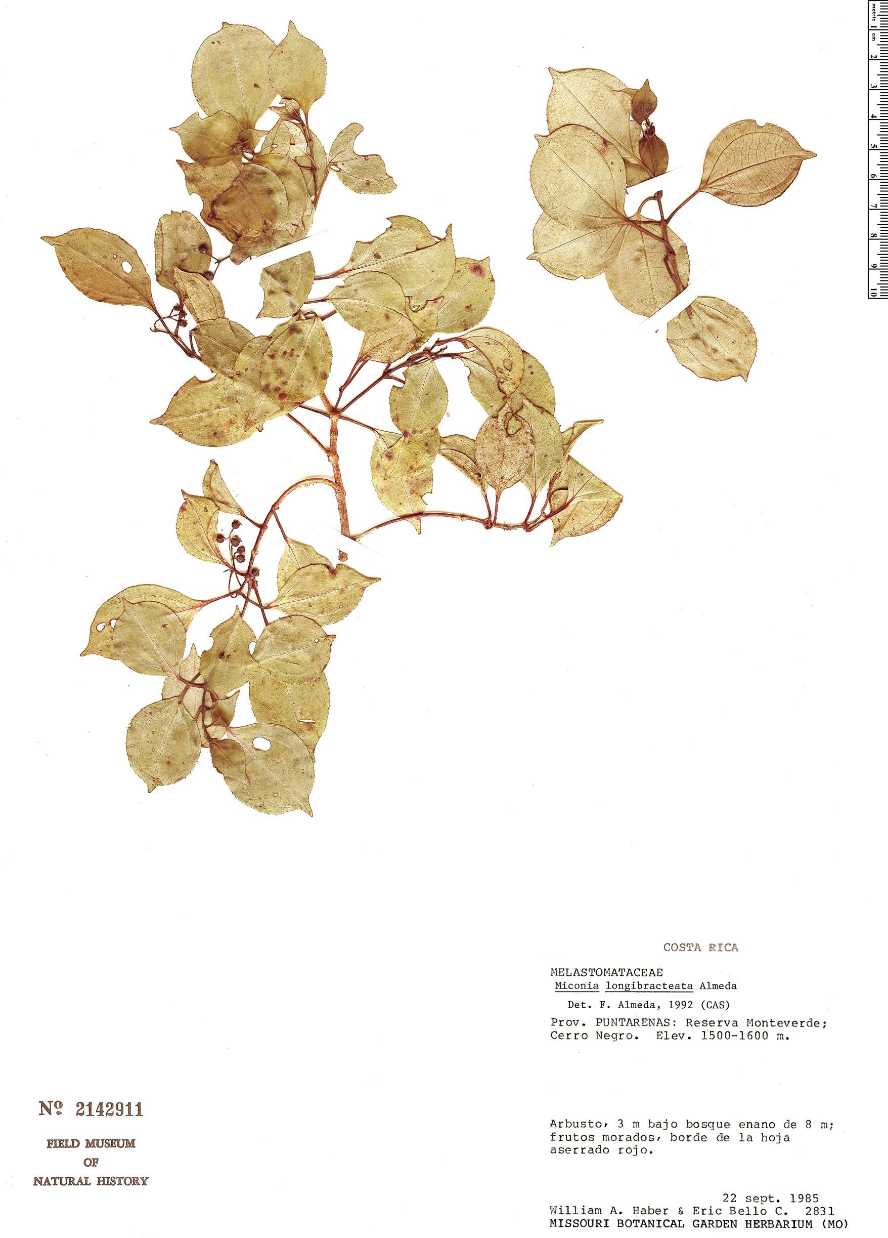 Espécimen: Miconia longibracteata
