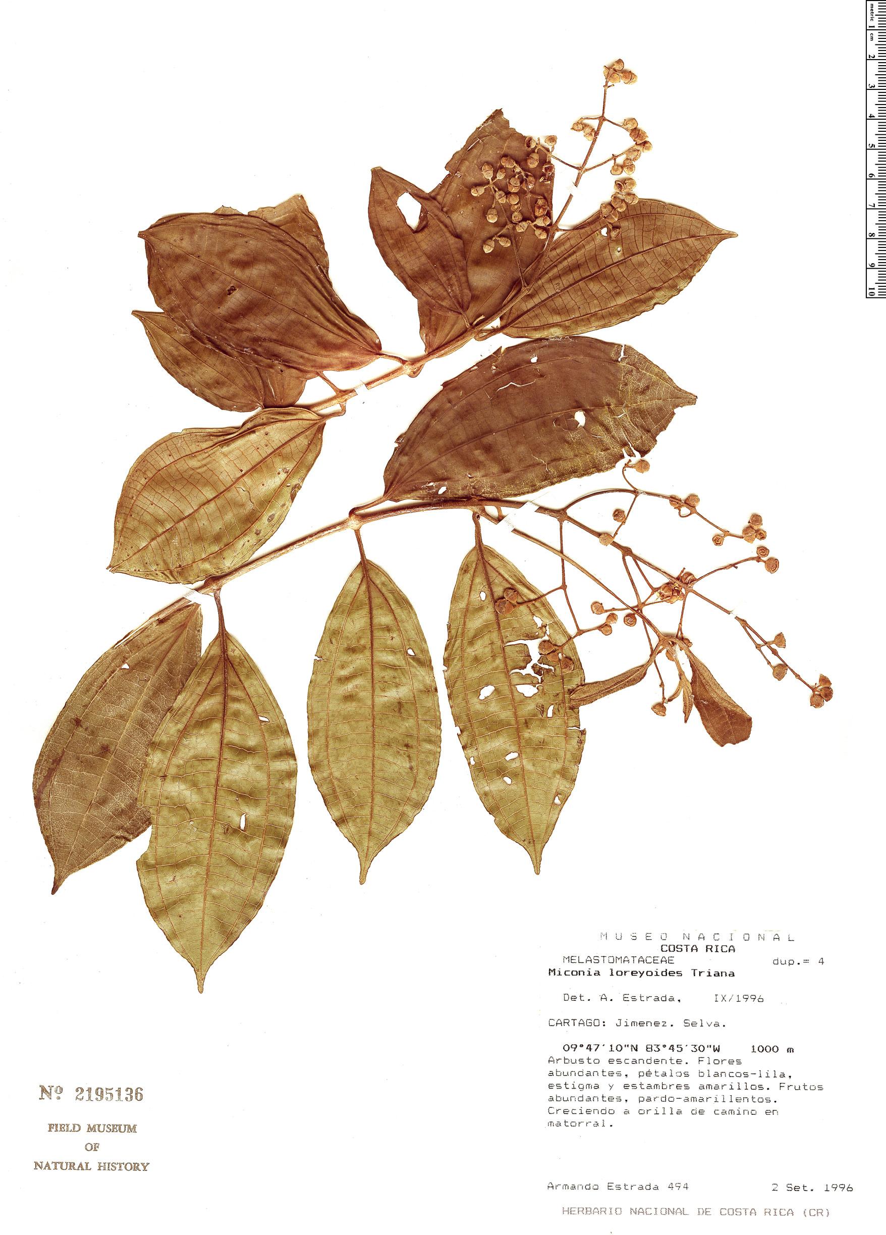 Specimen: Miconia loreyoides