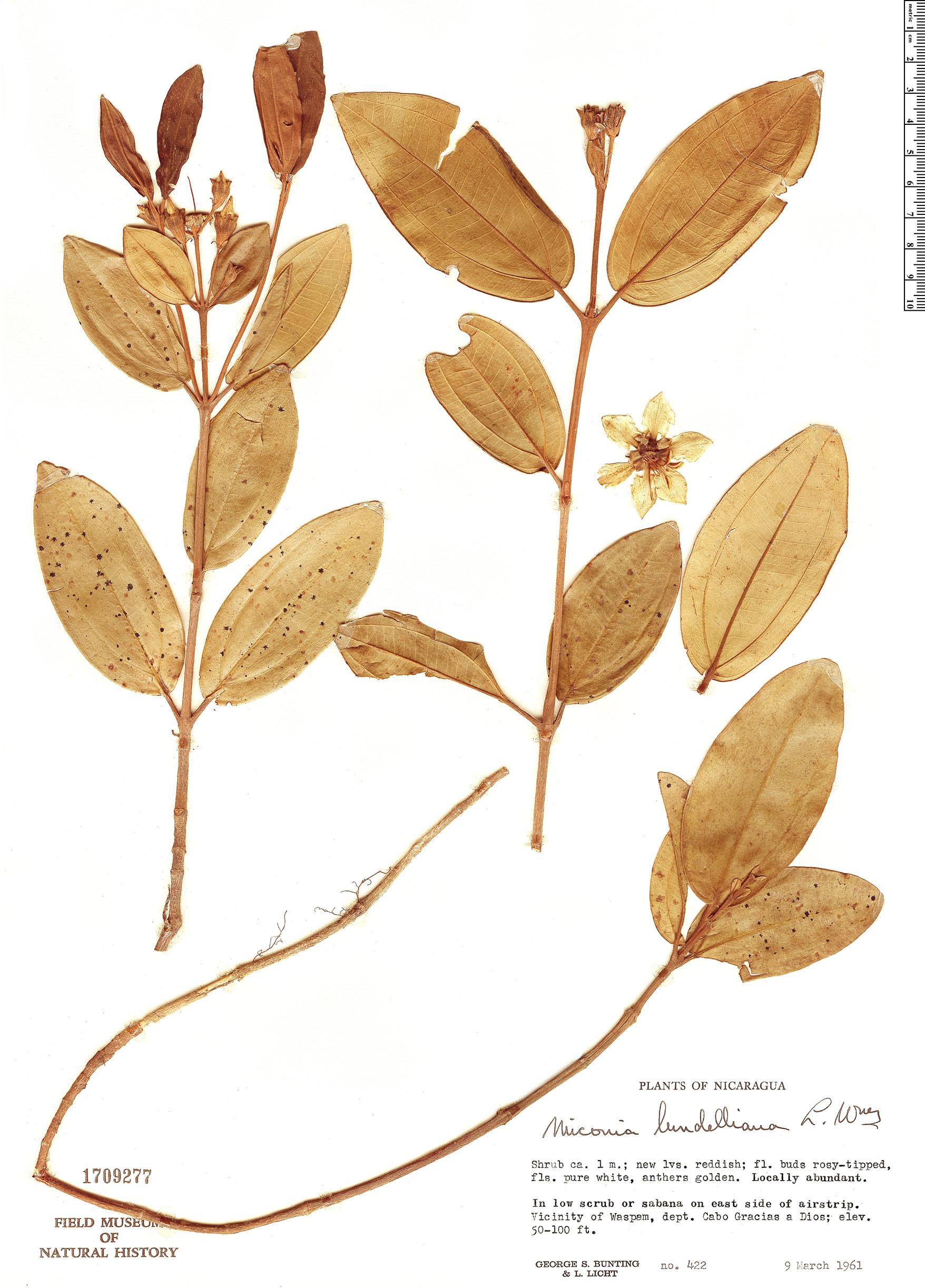 Specimen: Pachyanthus lundellianus