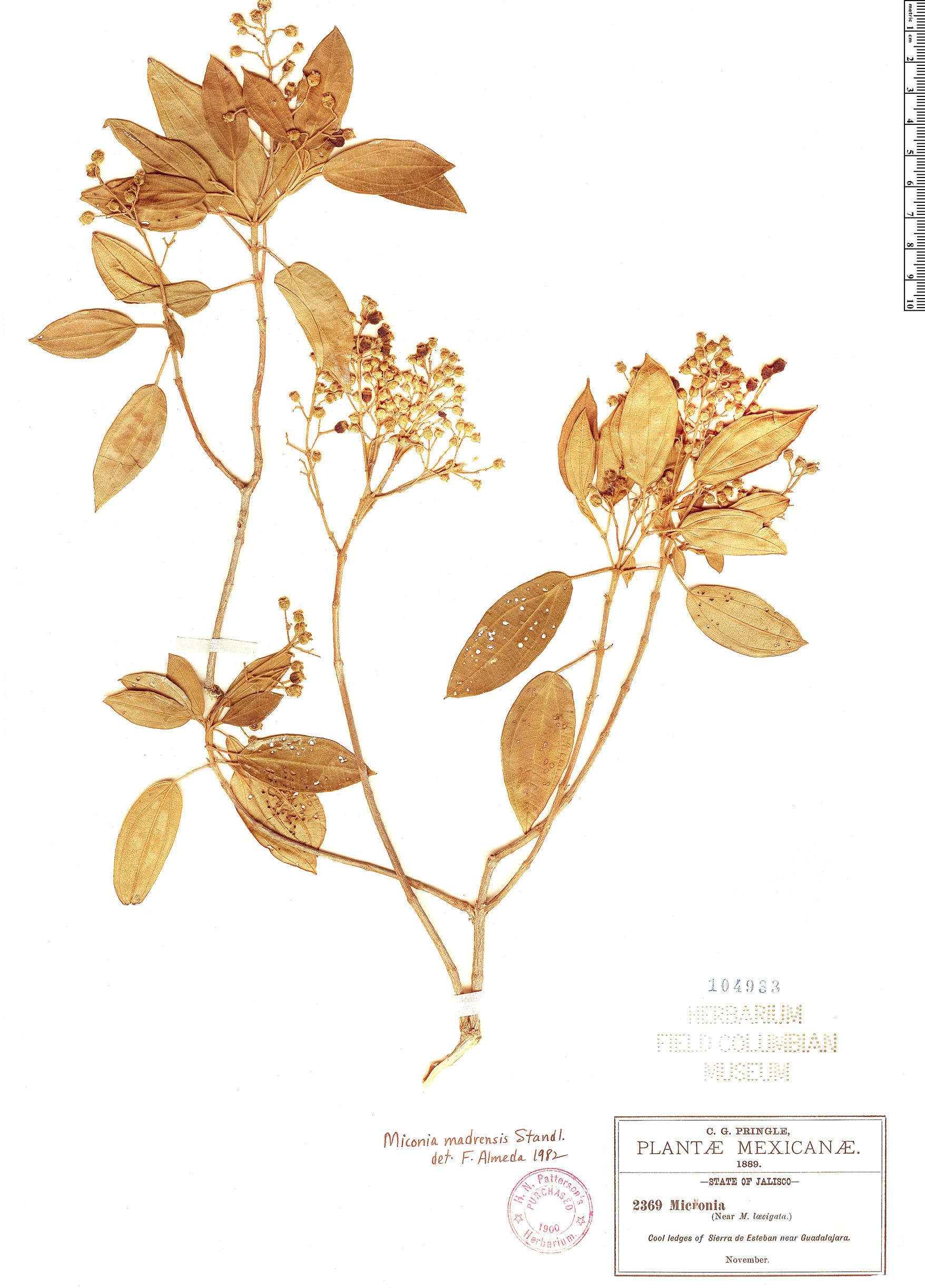 Specimen: Miconia madrensis