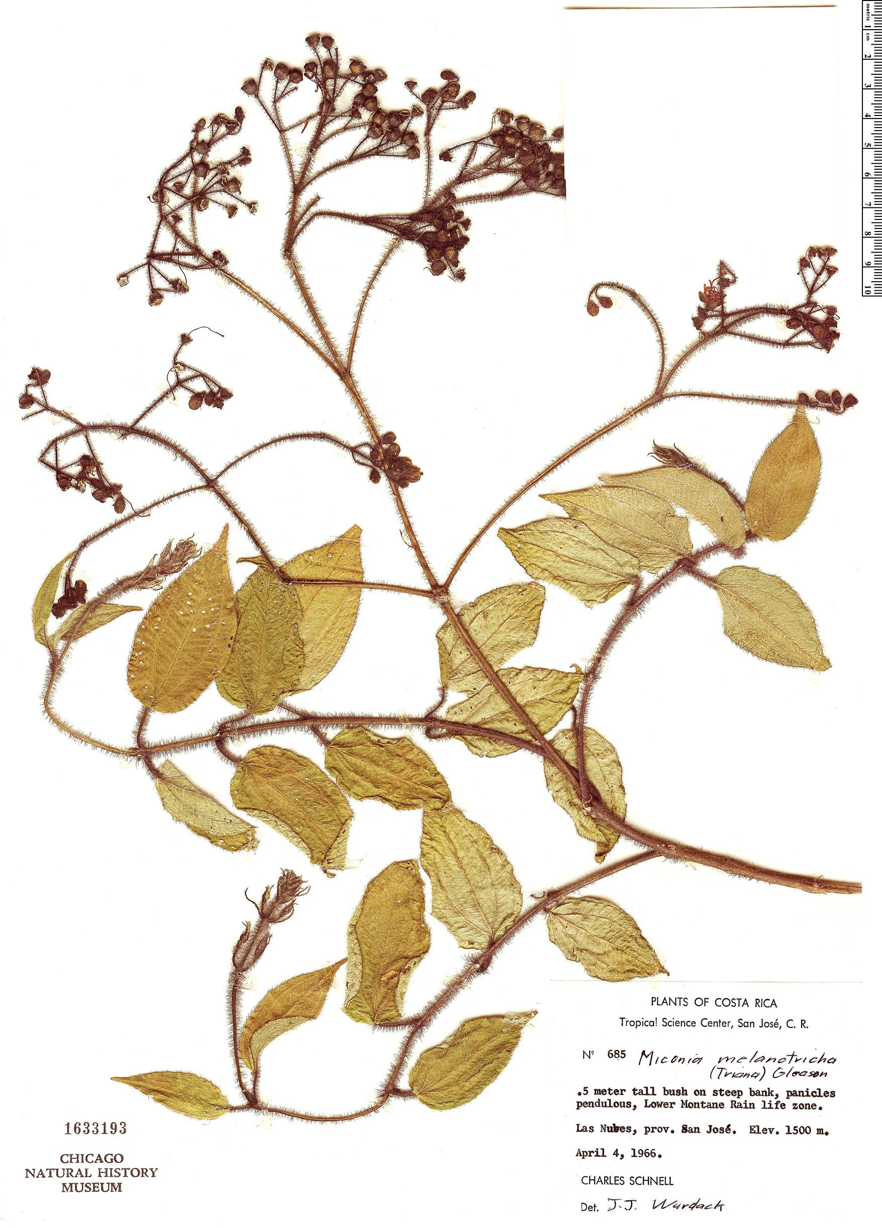 Specimen: Miconia melanotricha