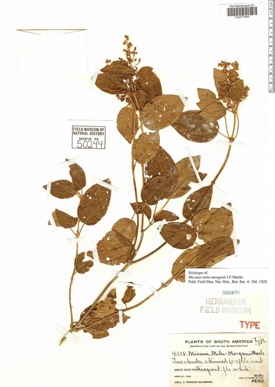 Specimen: Miconia miles-morganii