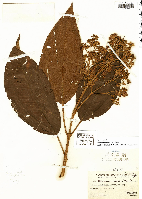 Espécimen: Miconia modica