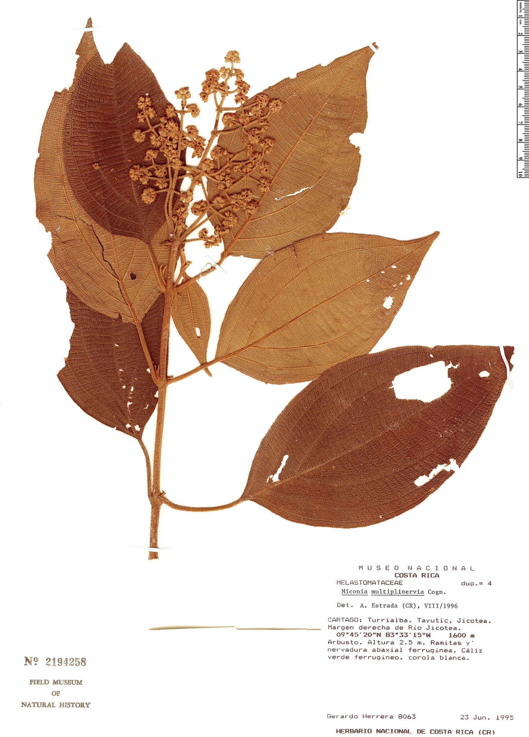 Espécimen: Miconia multiplinervia