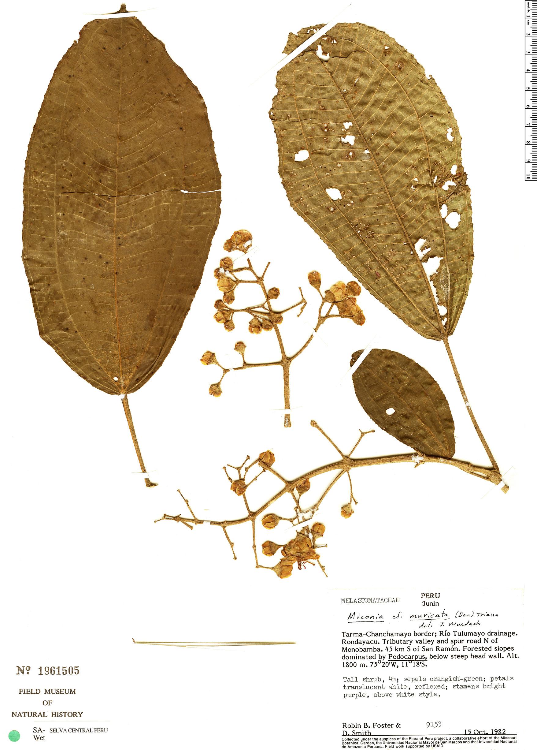 Specimen: Miconia muricata