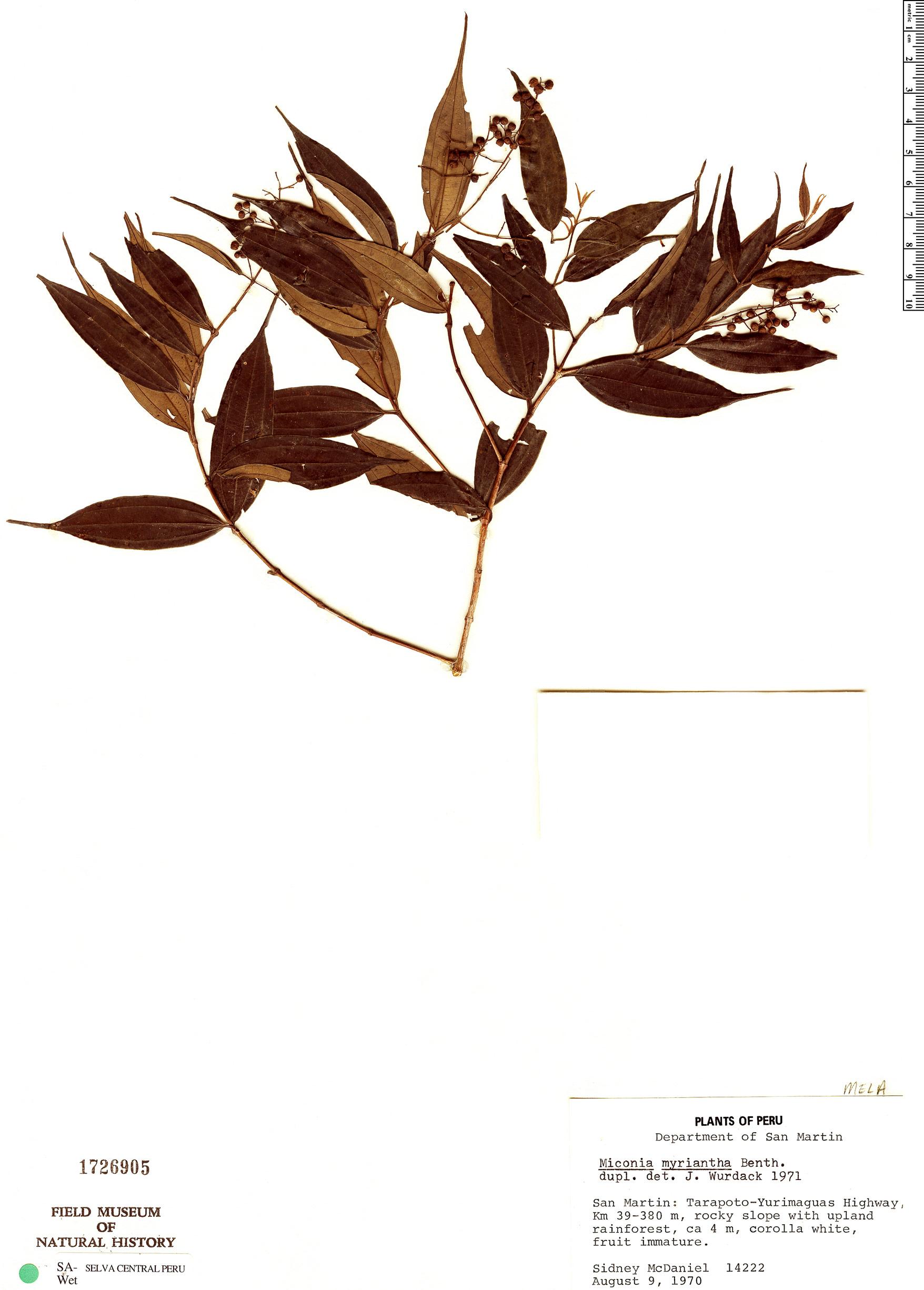 Specimen: Miconia myriantha