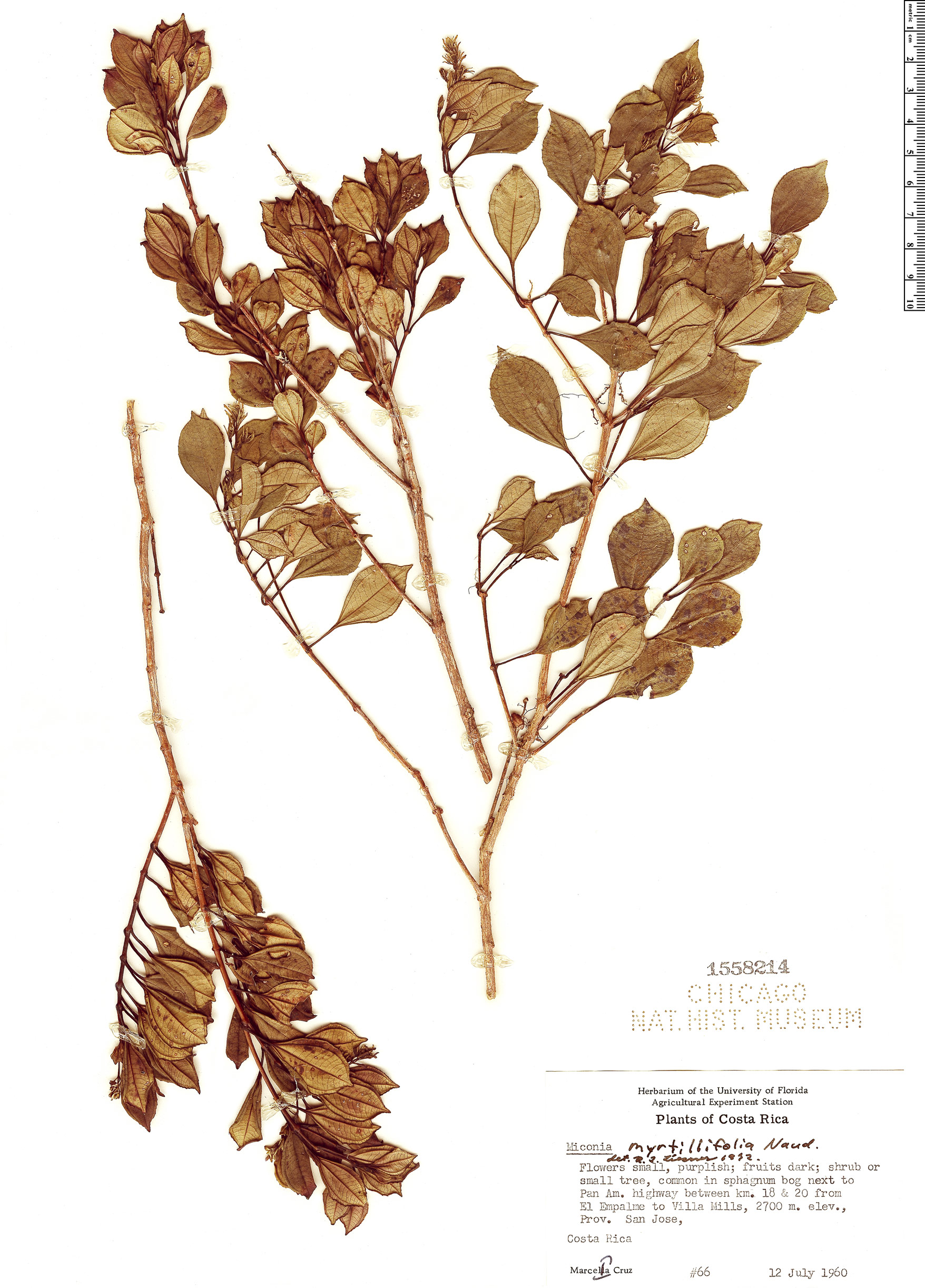 Specimen: Miconia myrtillifolia