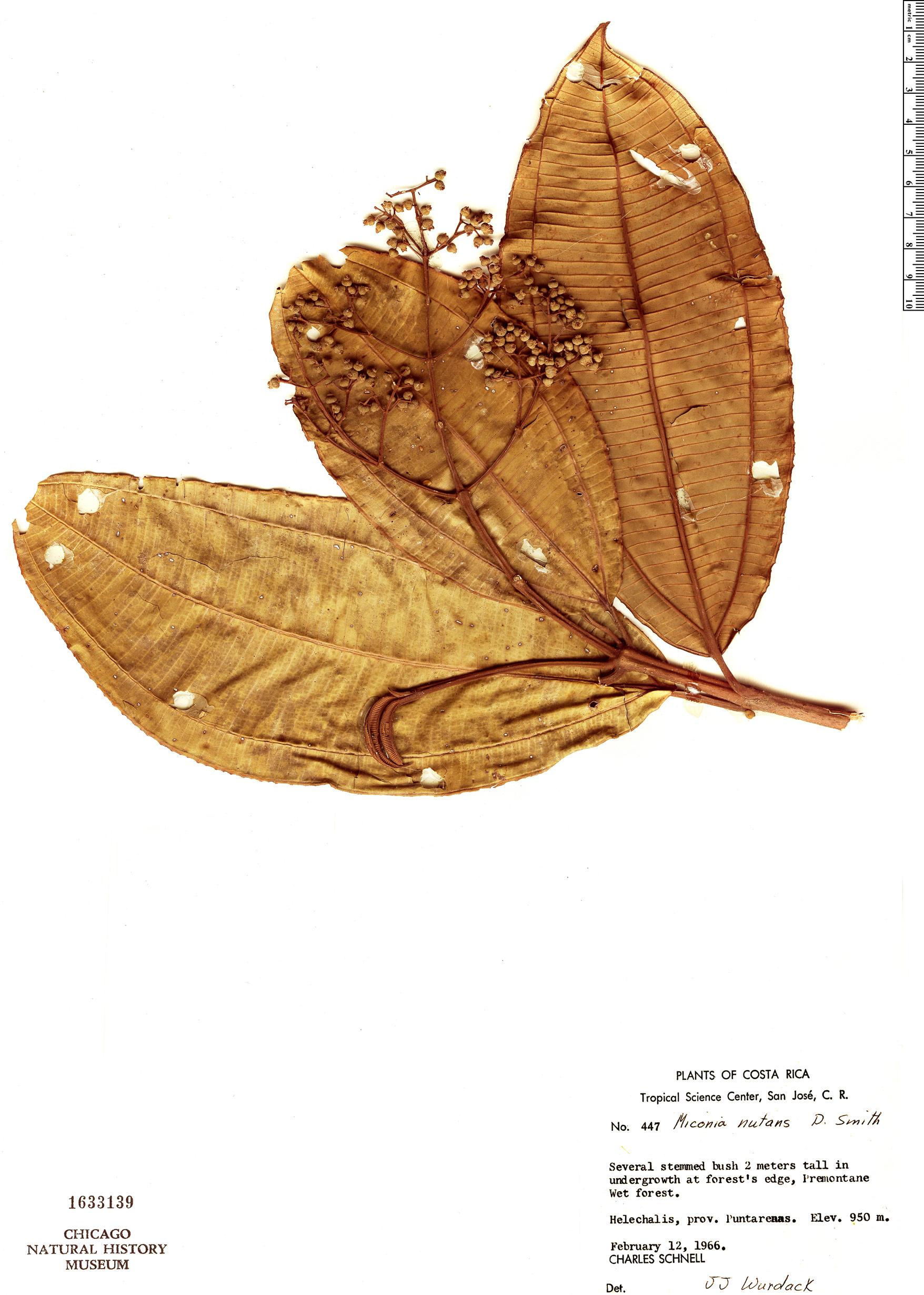 Specimen: Miconia nutans