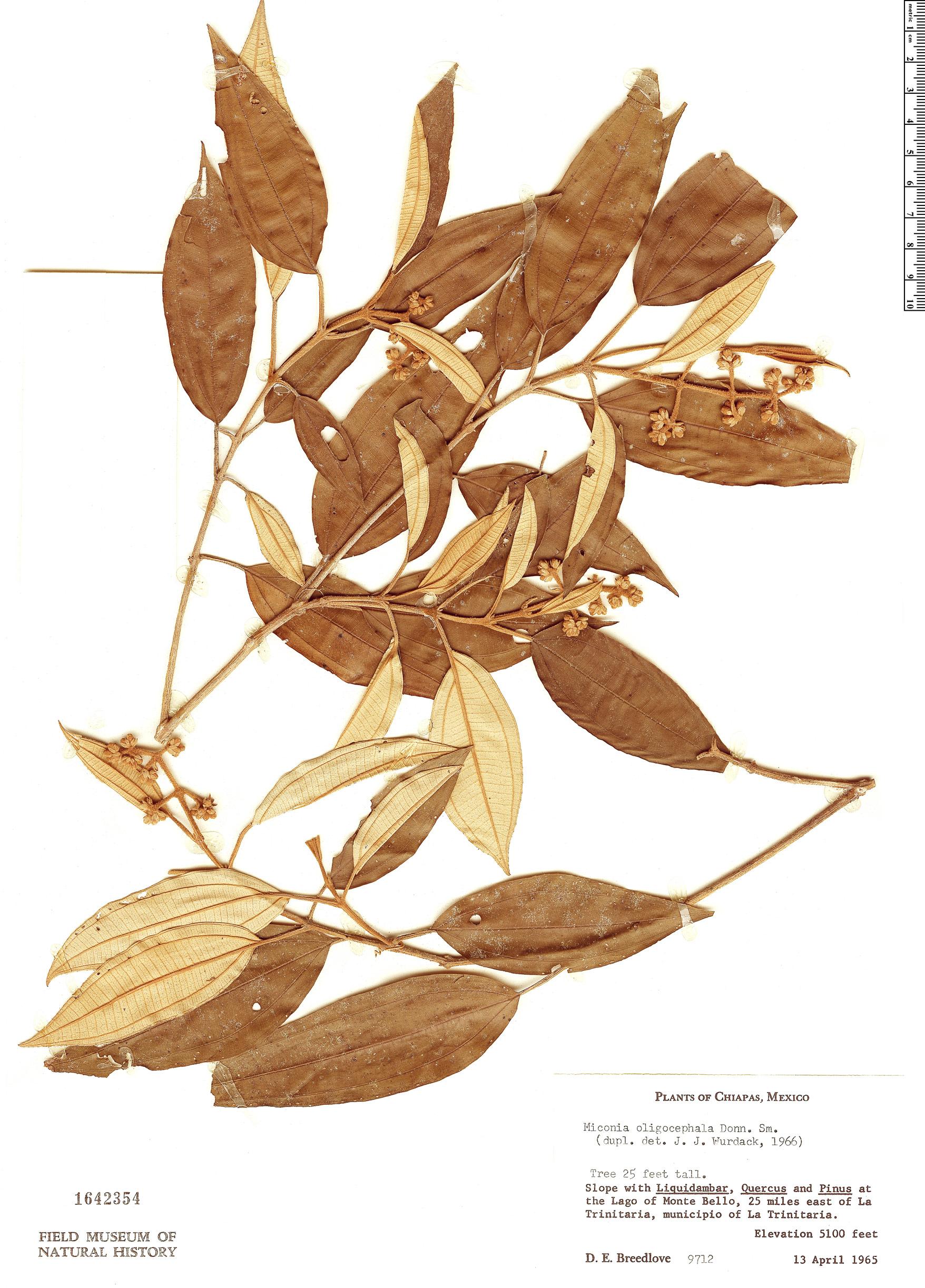 Specimen: Miconia oligocephala