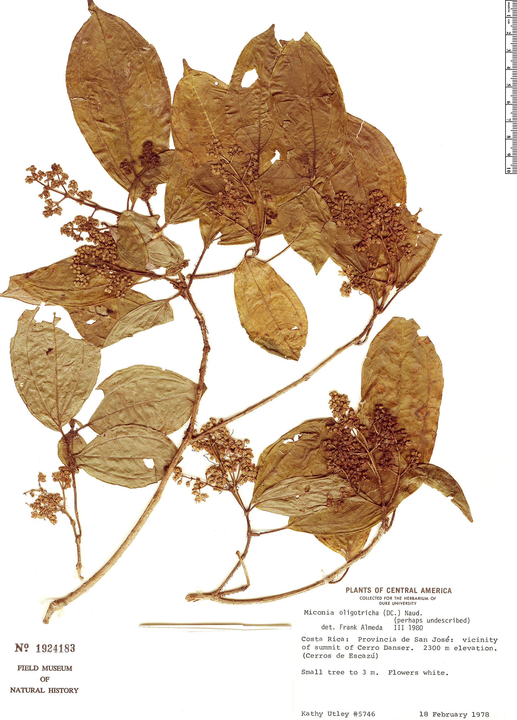 Espécimen: Miconia oligotricha