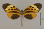 125643 Melinaea menophilus cocana d IN