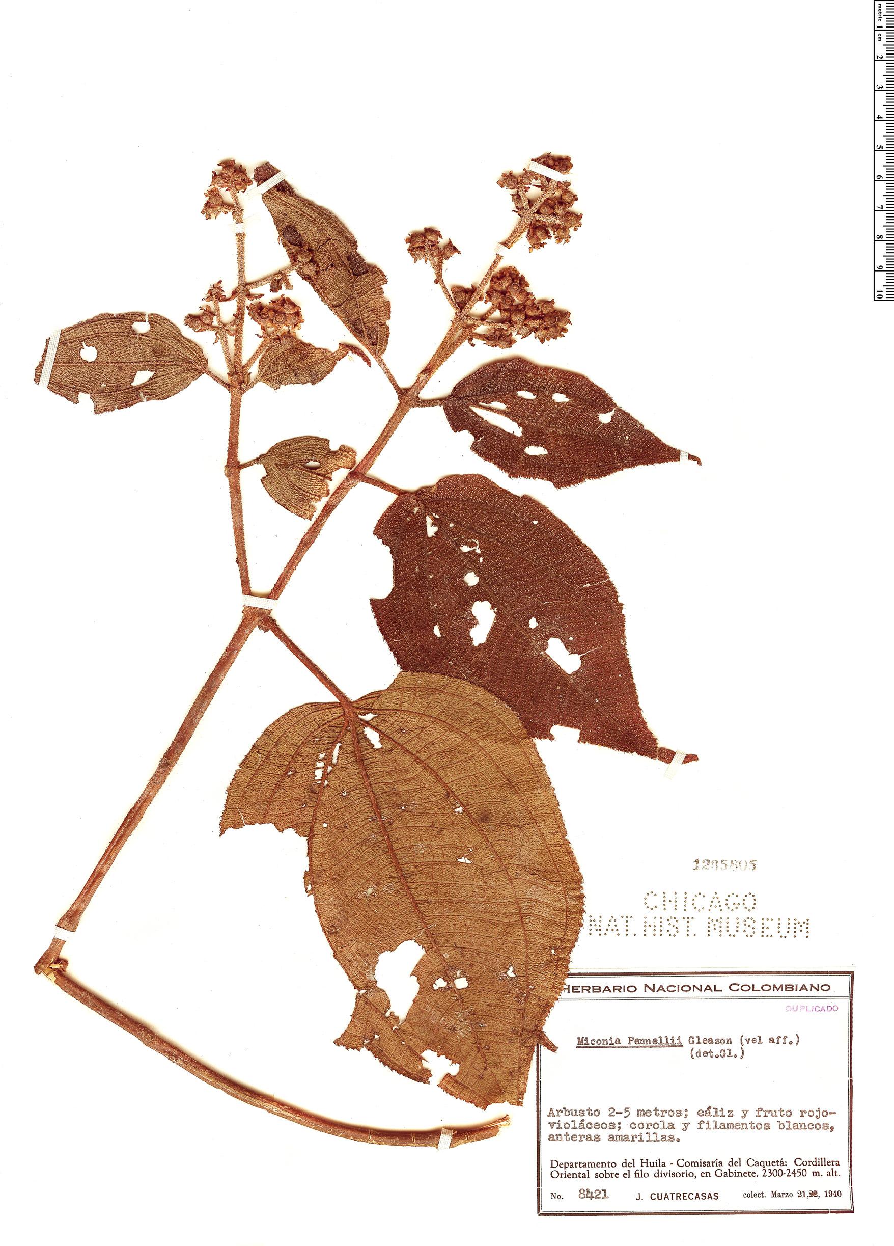 Specimen: Miconia pennellii