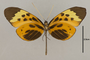 125643 Melinaea menophilus cocana v IN