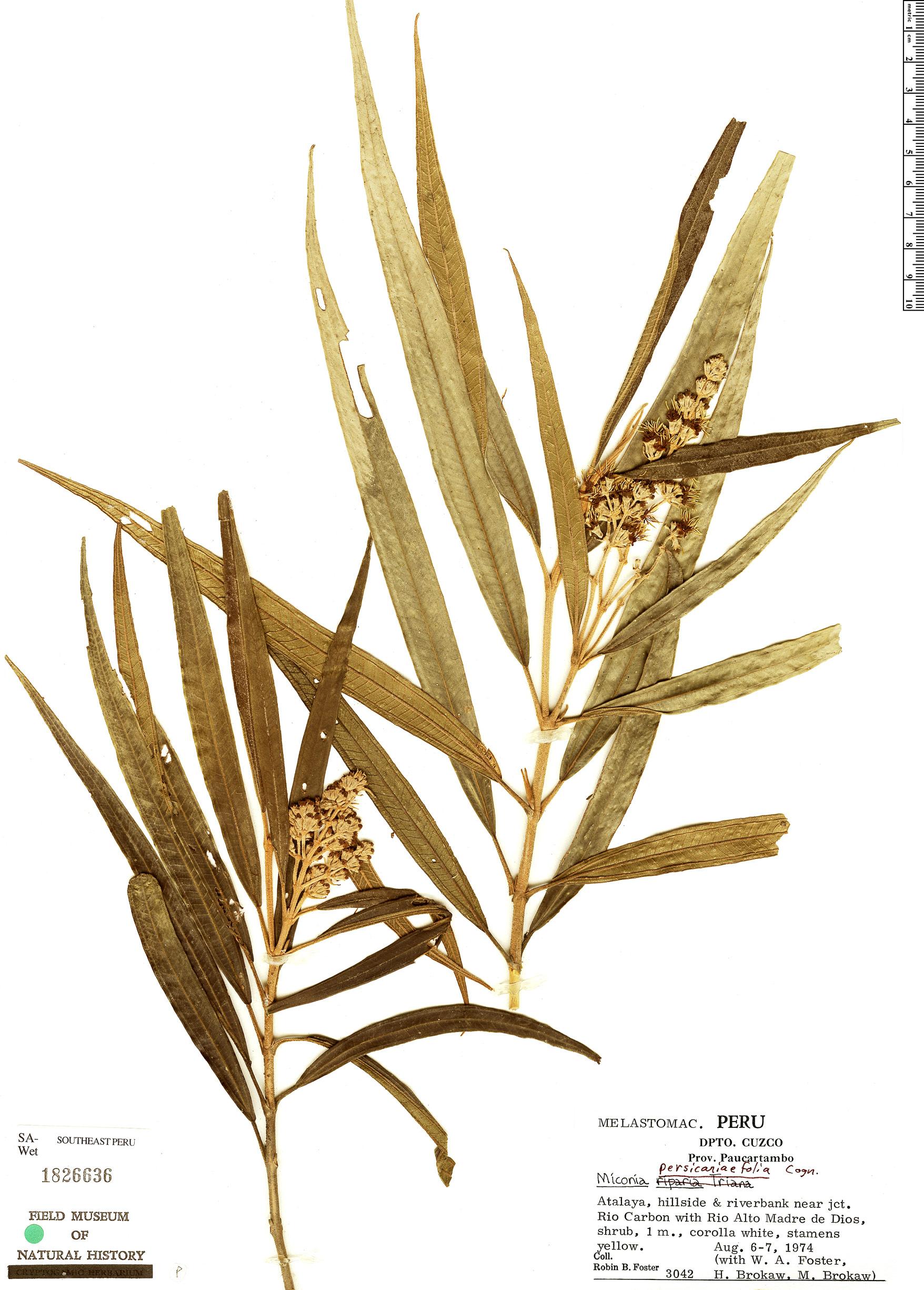 Specimen: Miconia persicariifolia