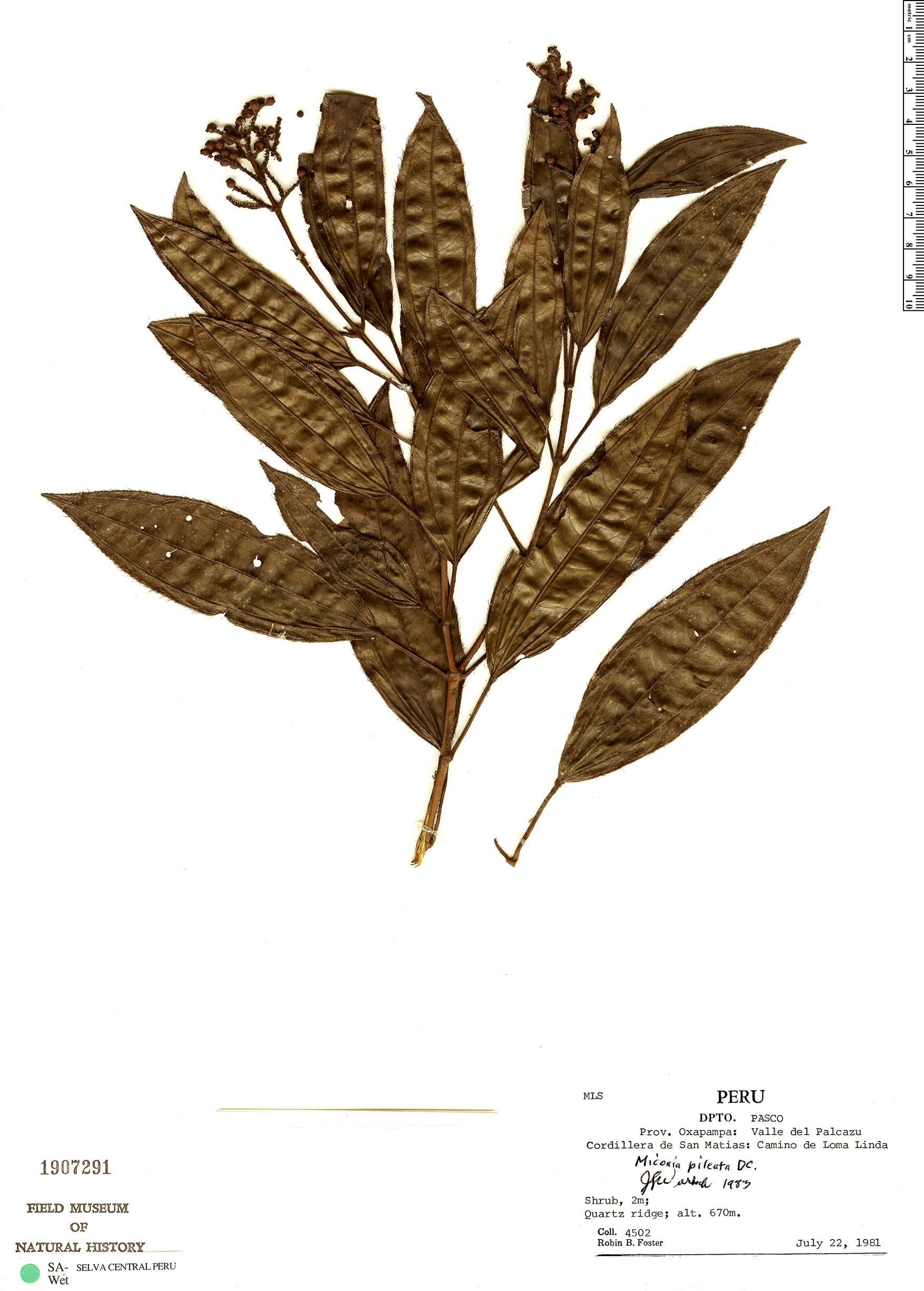 Specimen: Miconia pileata