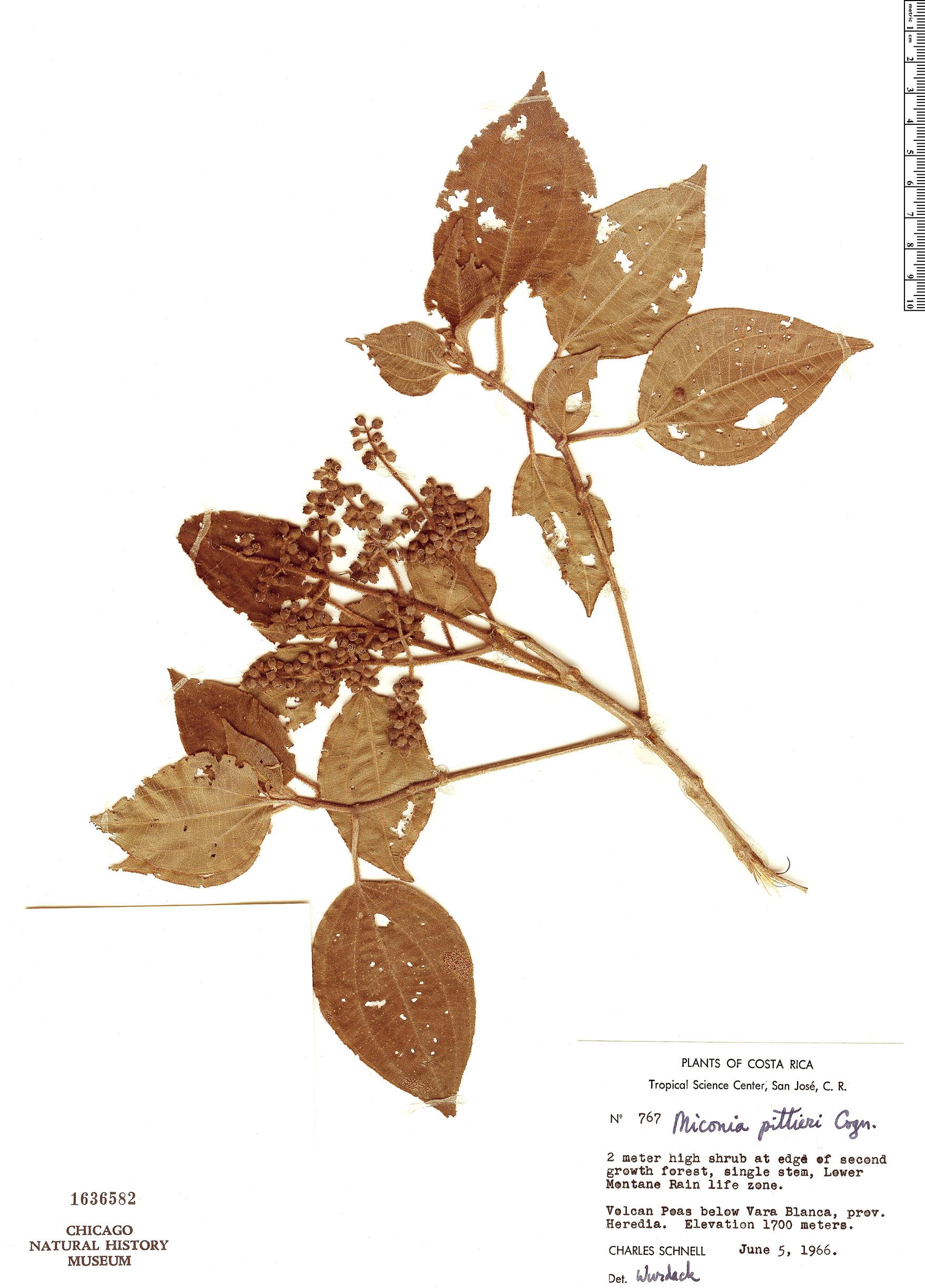 Specimen: Miconia pittieri