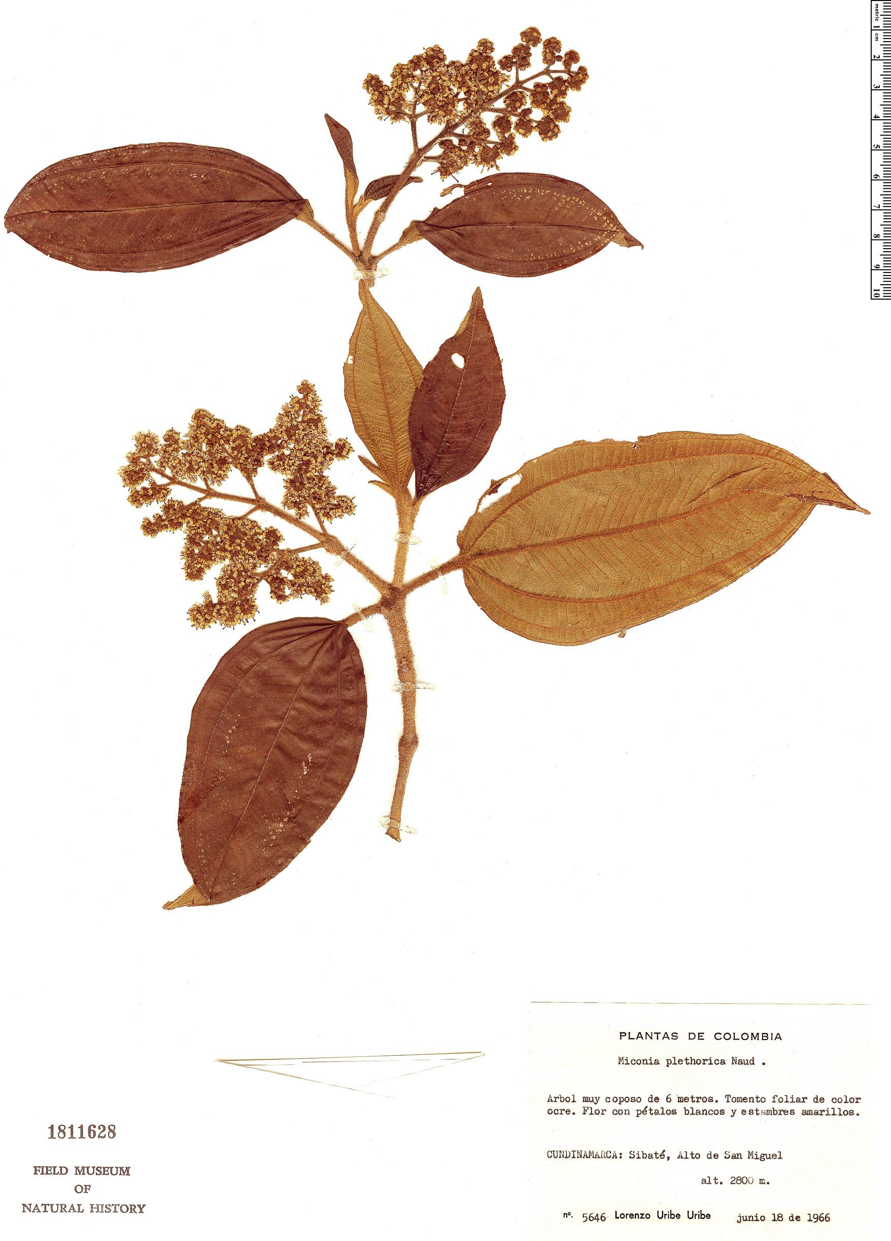 Specimen: Miconia plethorica
