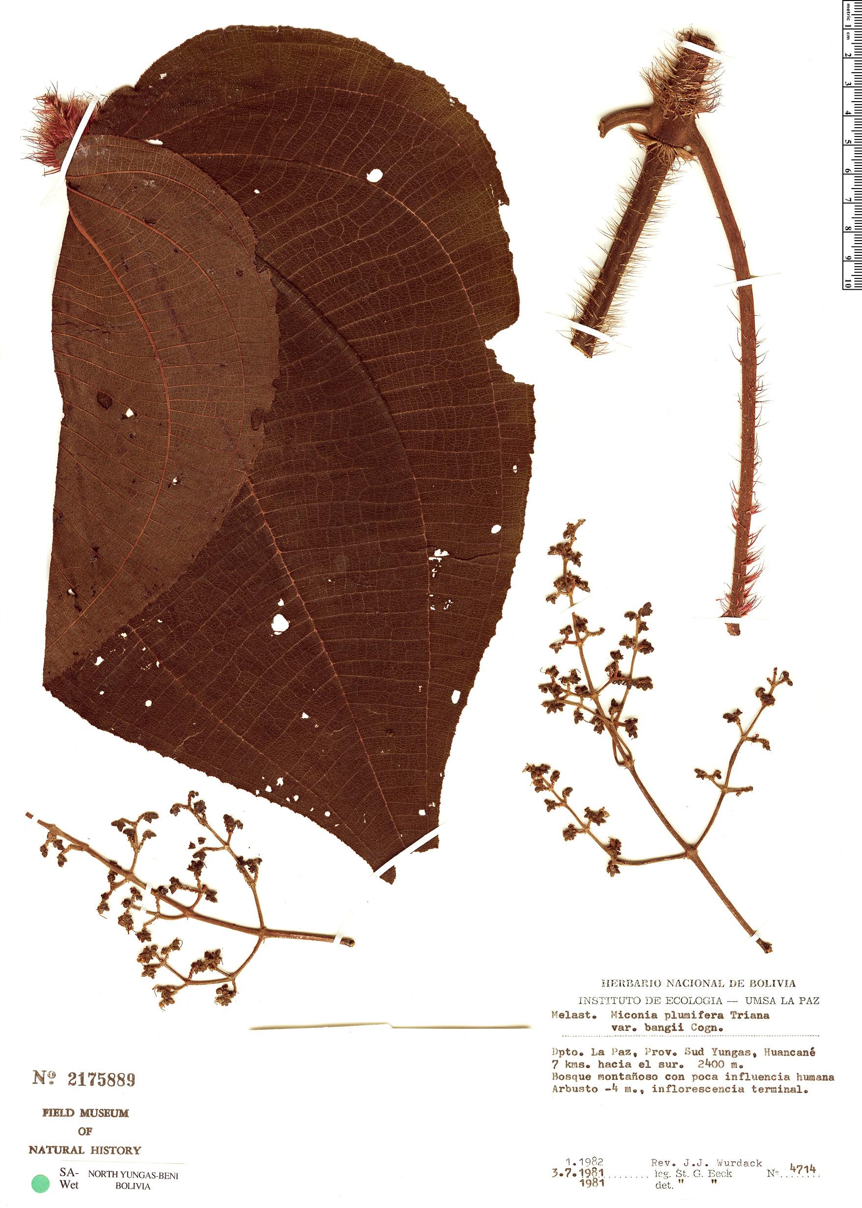 Specimen: Miconia plumifera