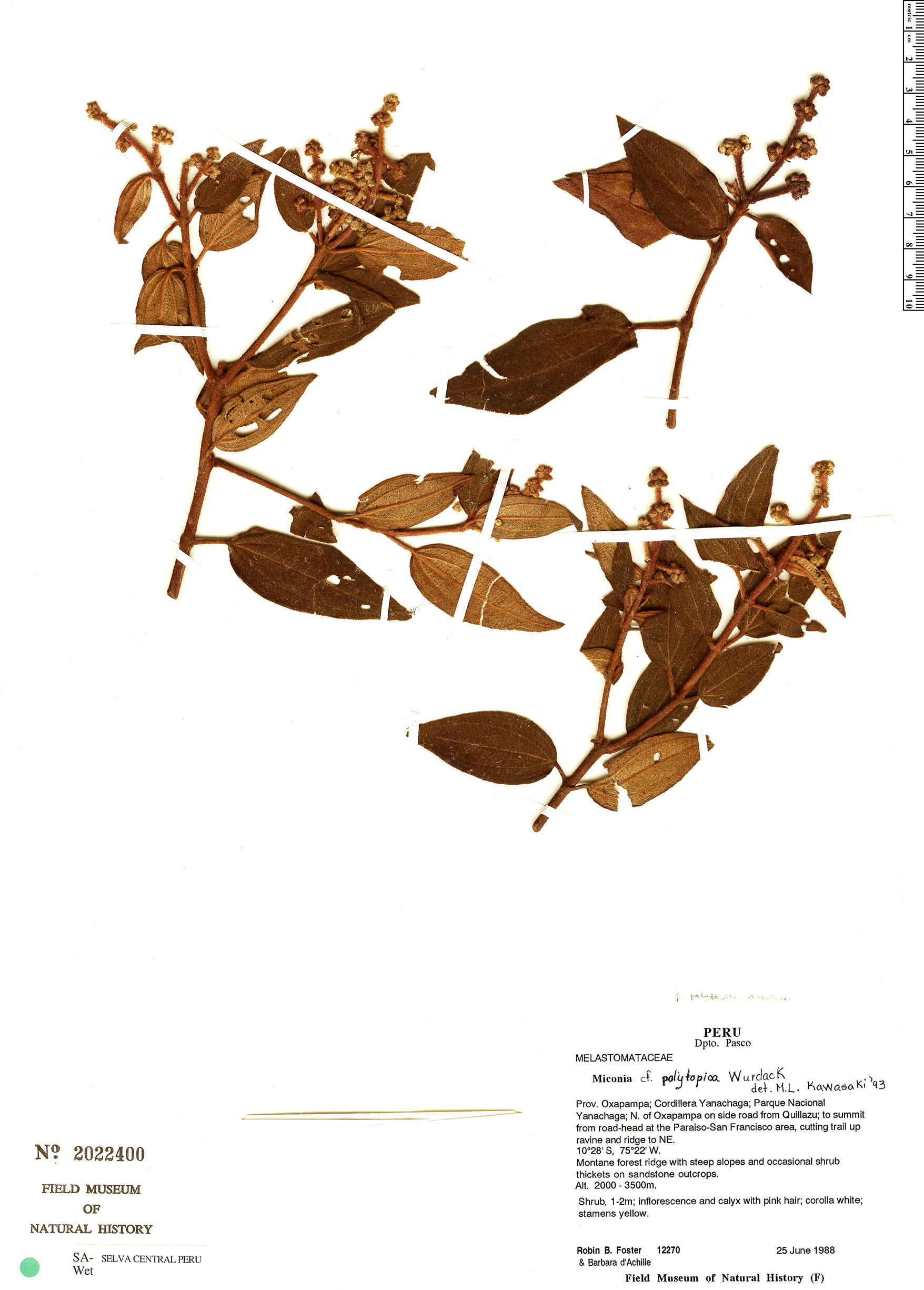 Specimen: Miconia polytopica