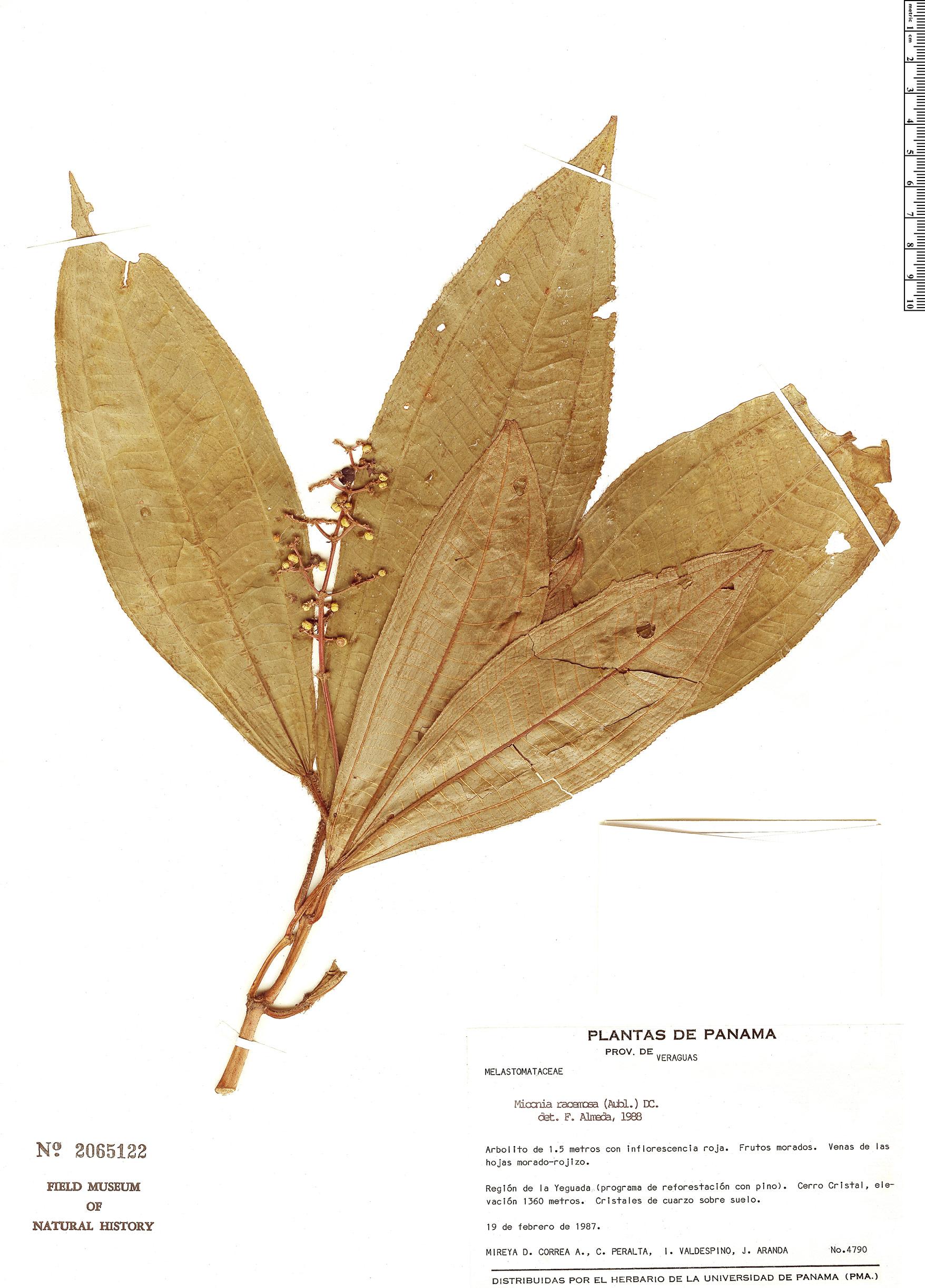 Espécimen: Miconia racemosa