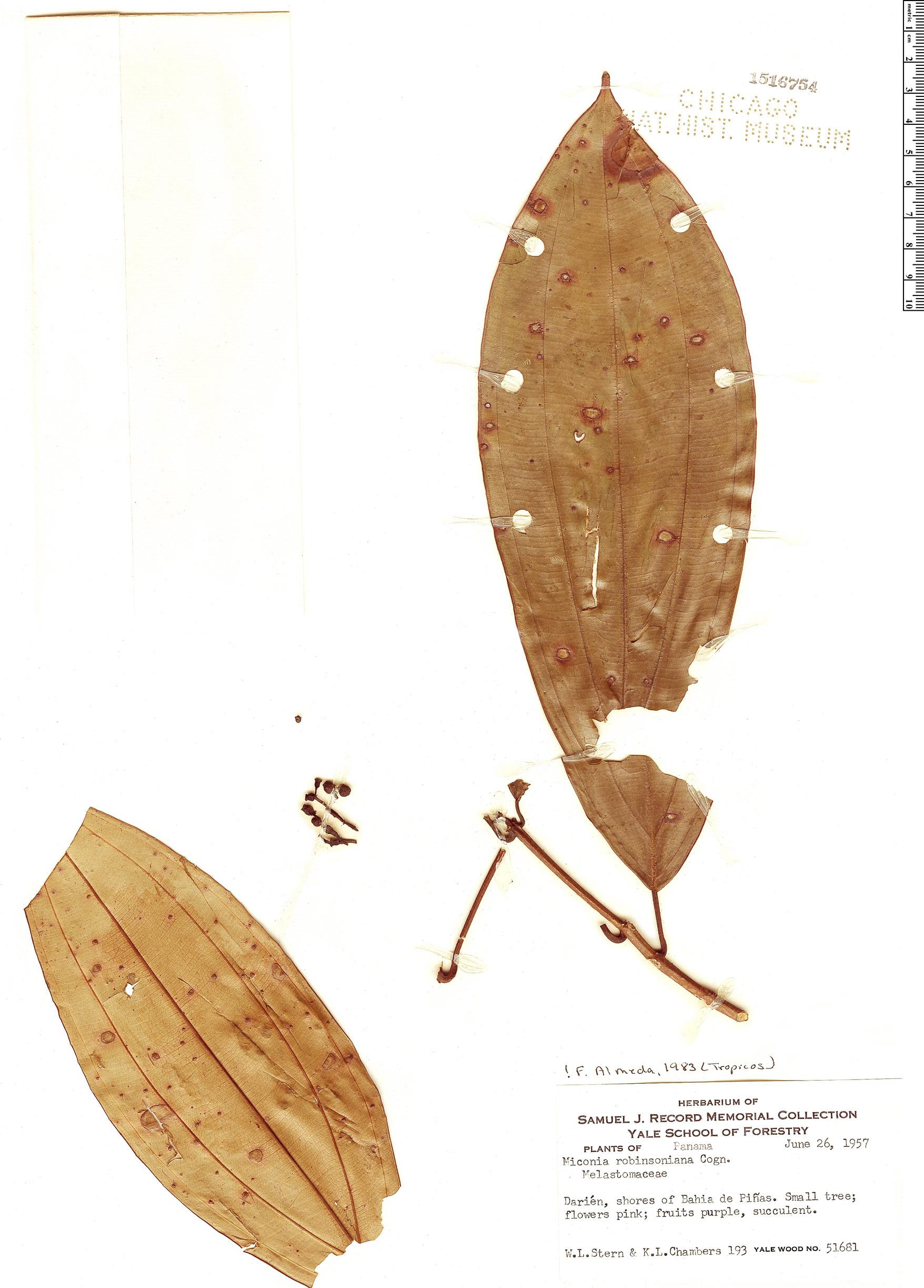 Specimen: Miconia robinsoniana