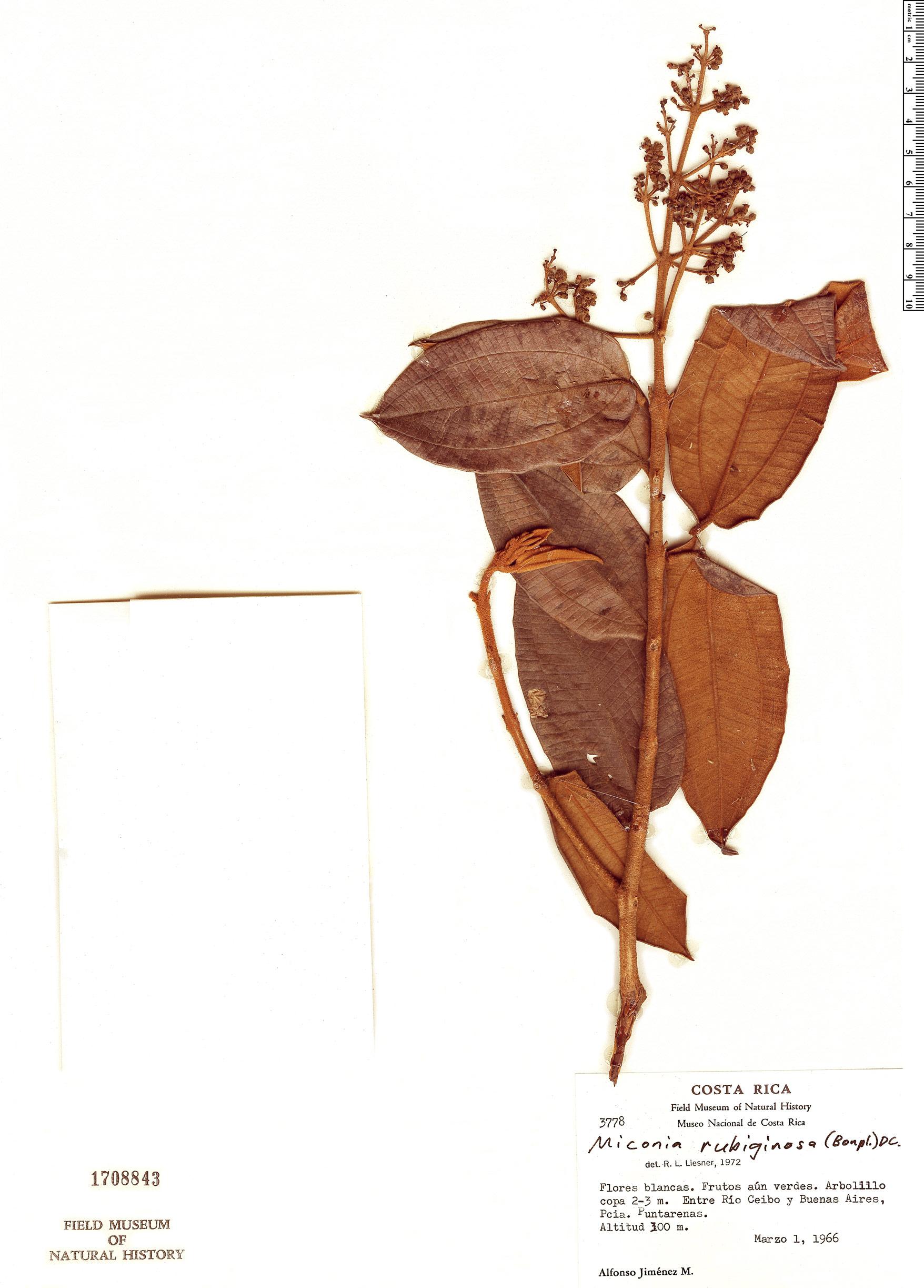 Specimen: Miconia rubiginosa