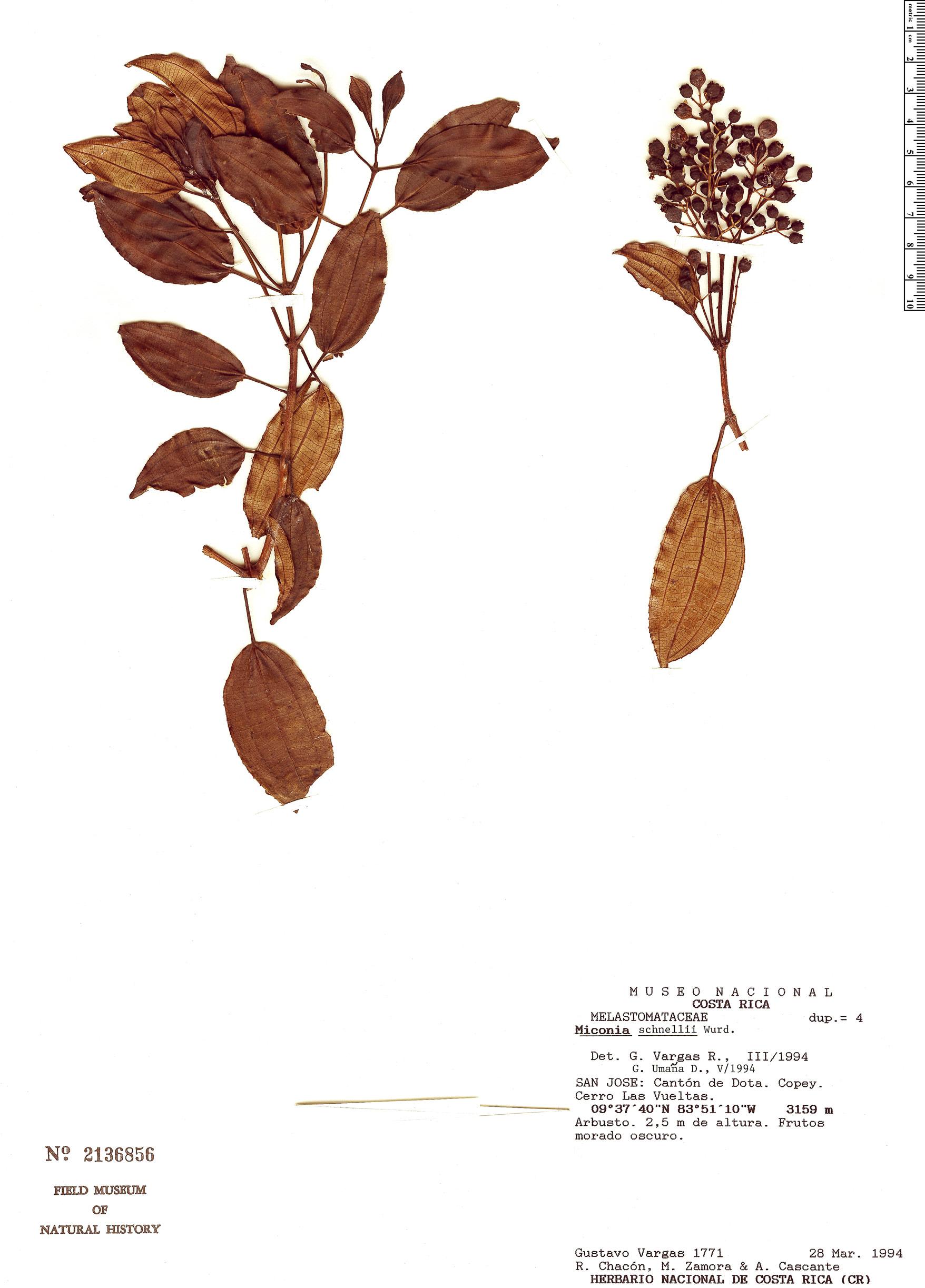 Specimen: Miconia schnellii