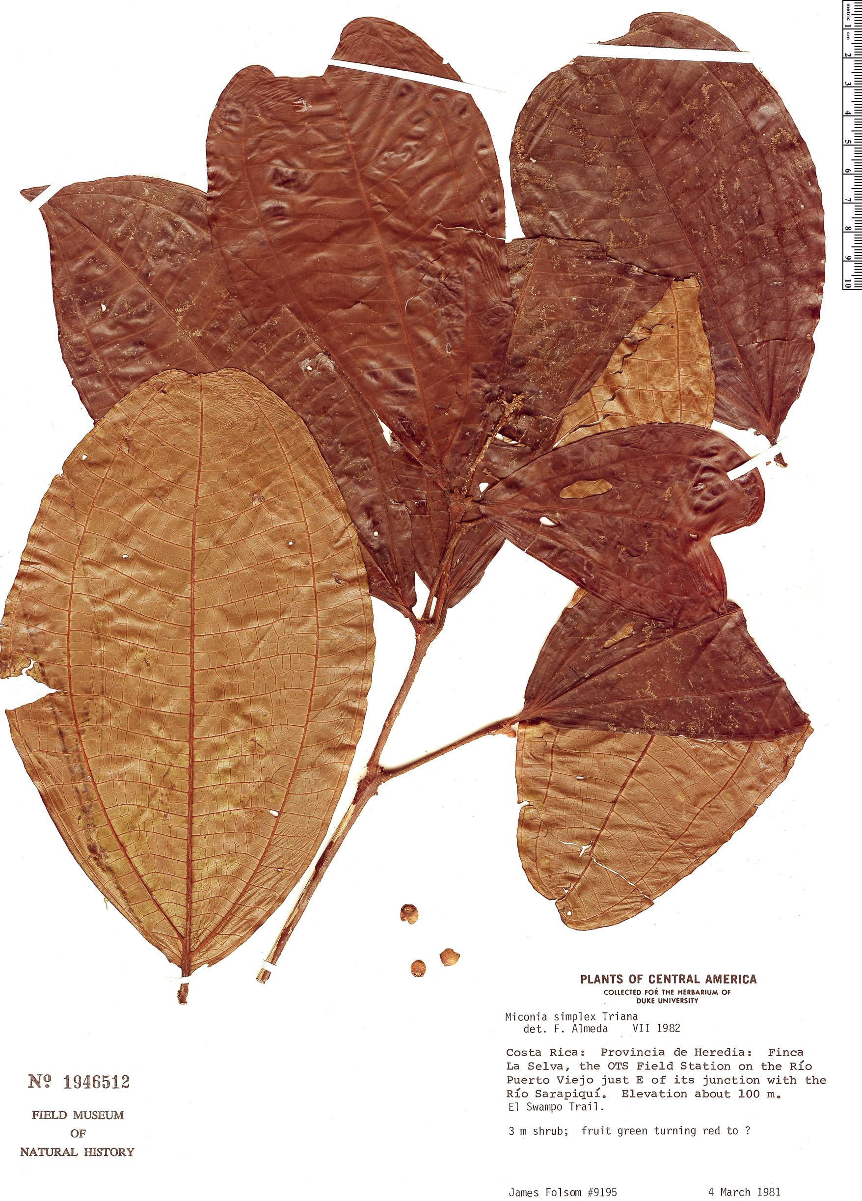 Specimen: Miconia simplex