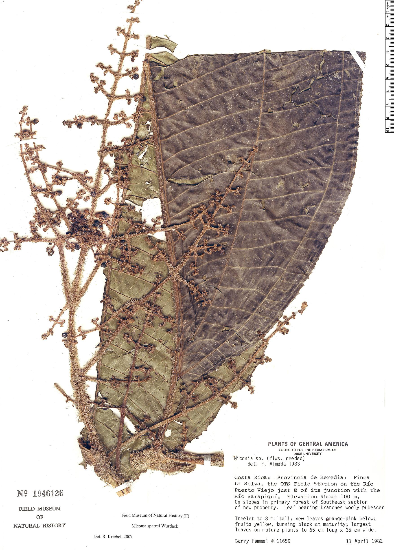 Specimen: Miconia sparrei