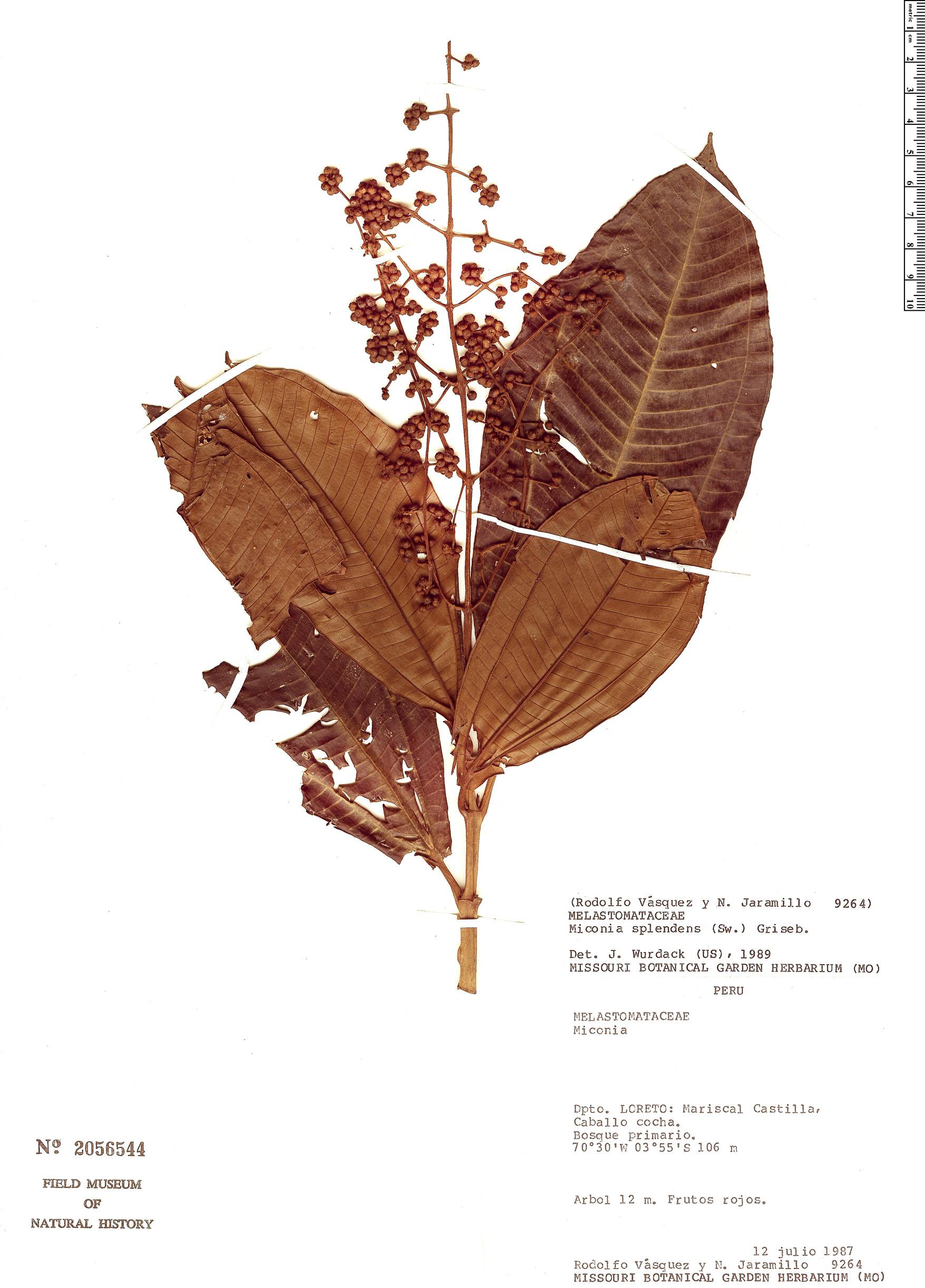Specimen: Miconia splendens