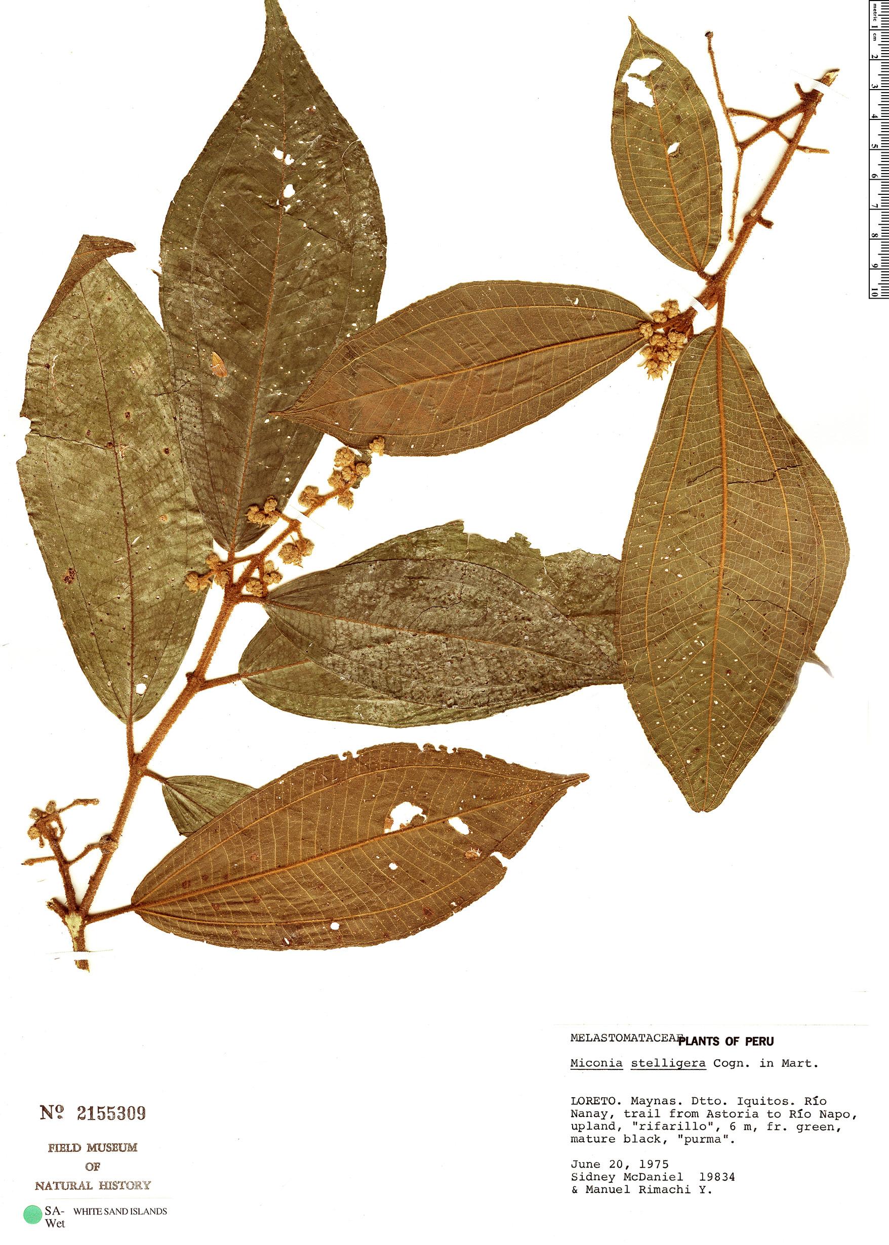 Specimen: Miconia stelligera