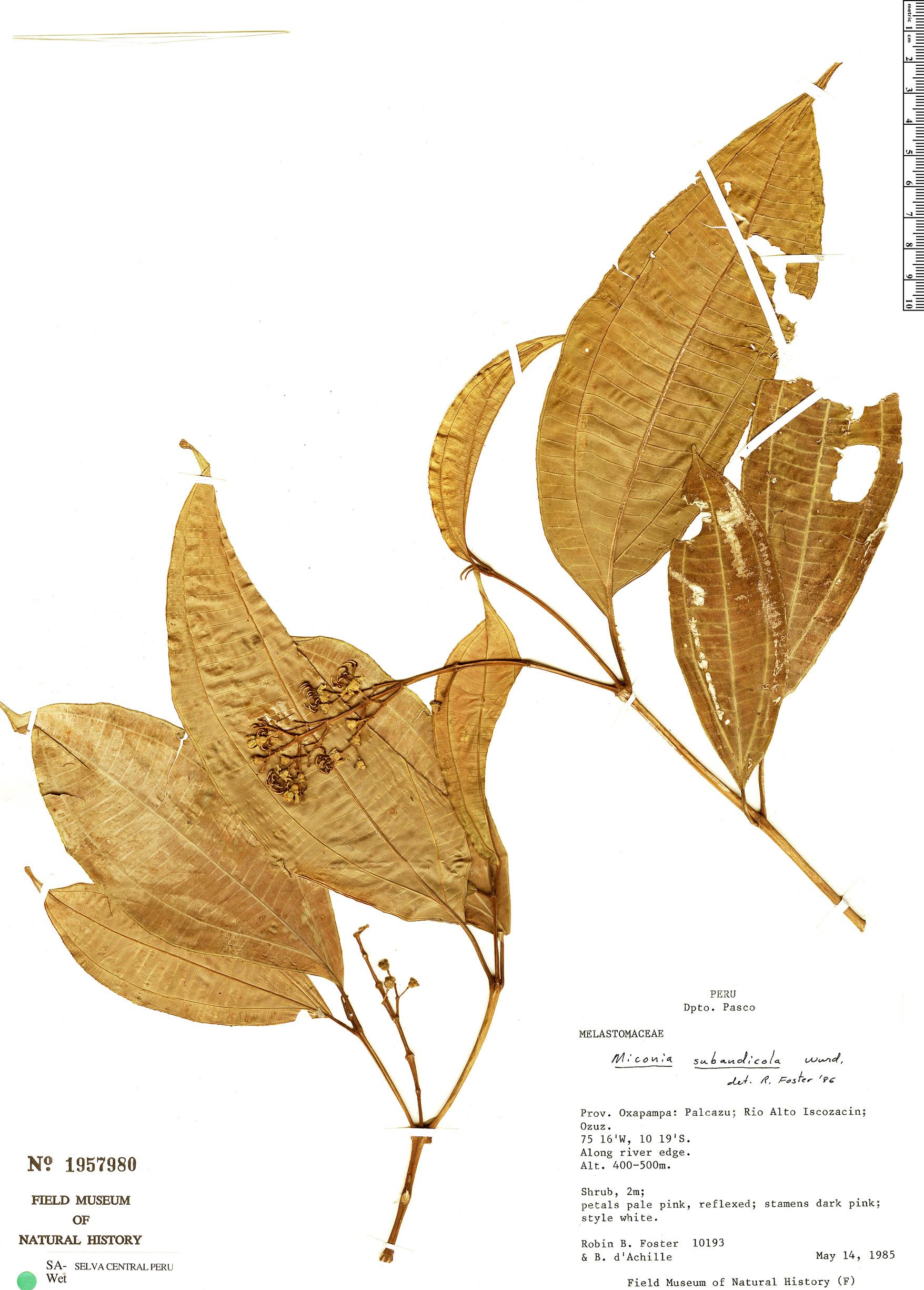 Specimen: Miconia subandicola