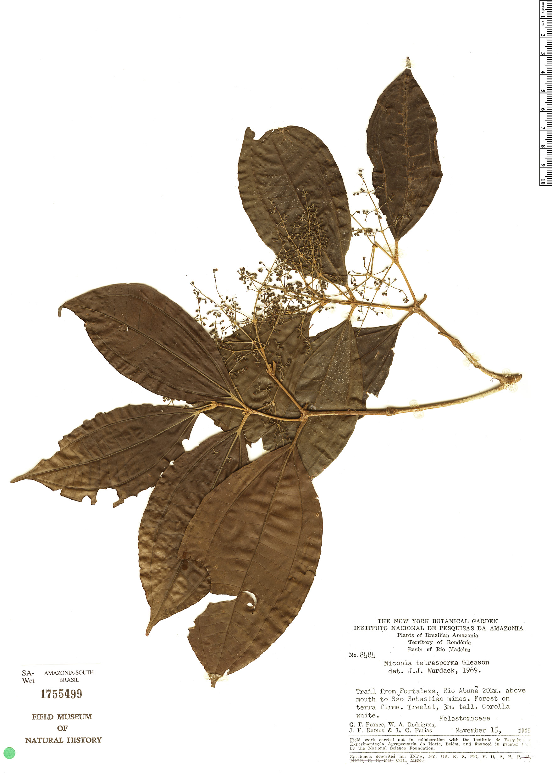 Specimen: Miconia tetrasperma