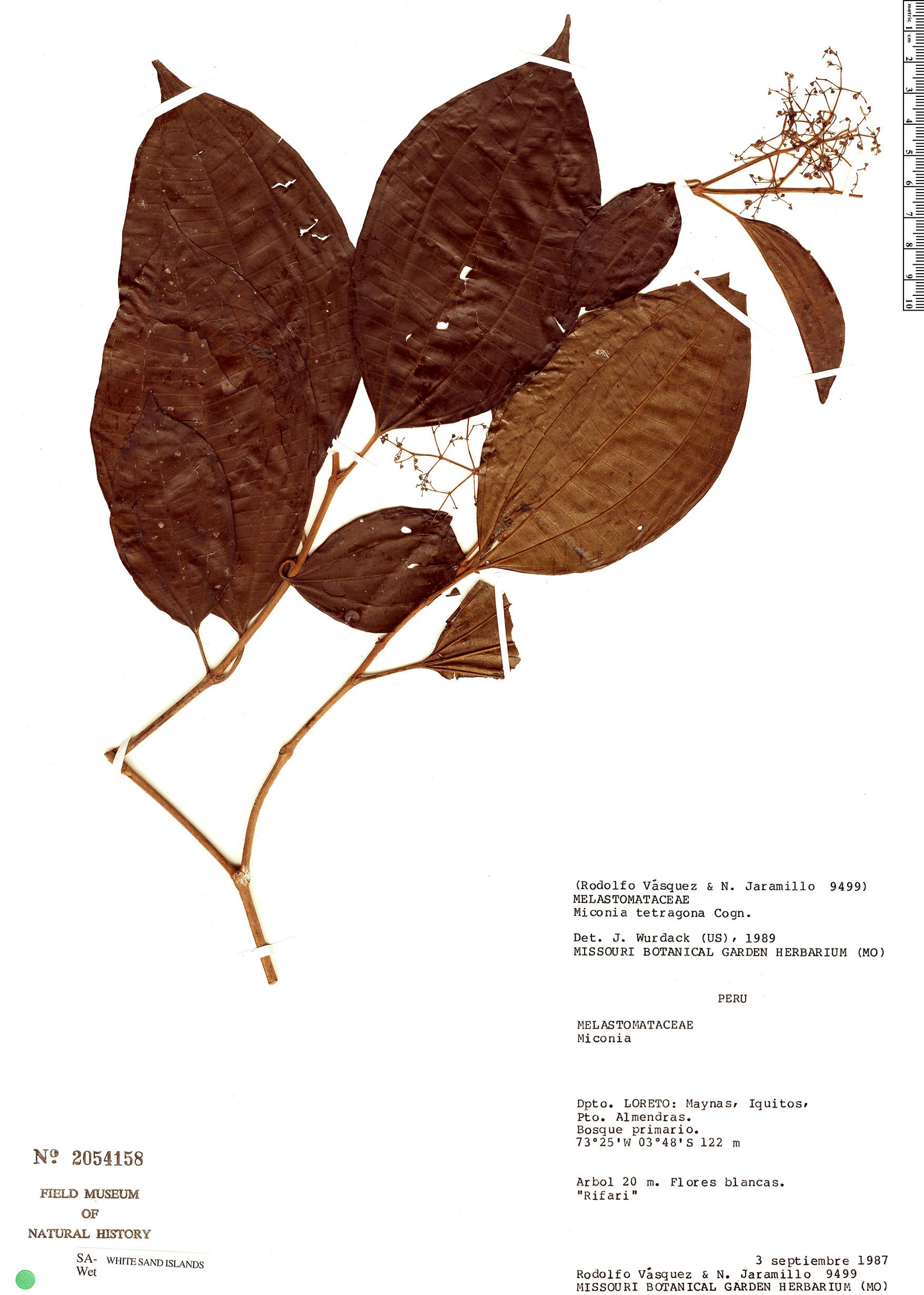 Espécime: Miconia tetragona