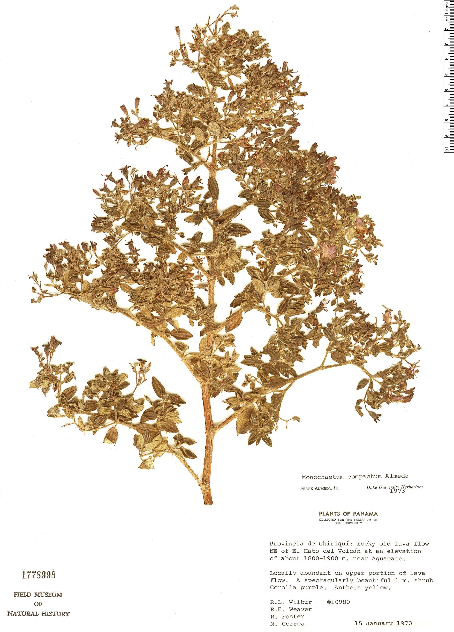 Specimen: Monochaetum compactum