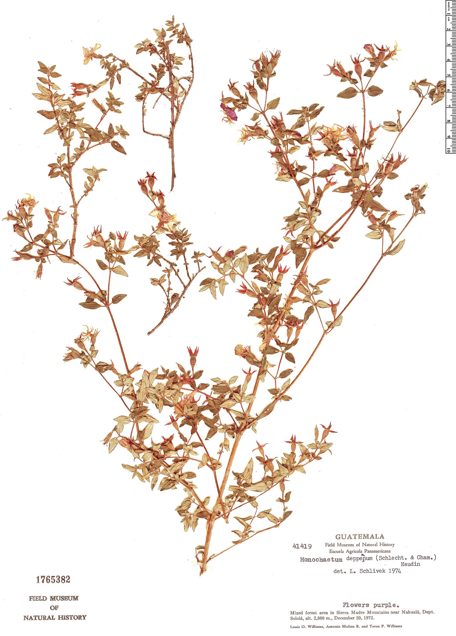 Specimen: Monochaetum deppeanum