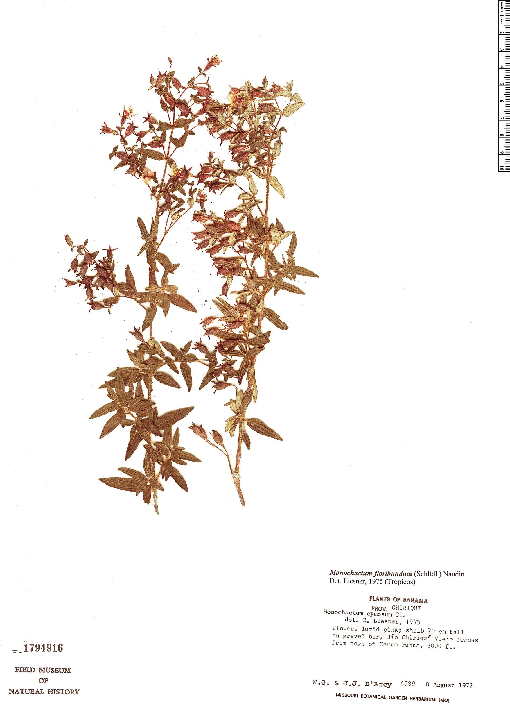 Specimen: Monochaetum floribundum