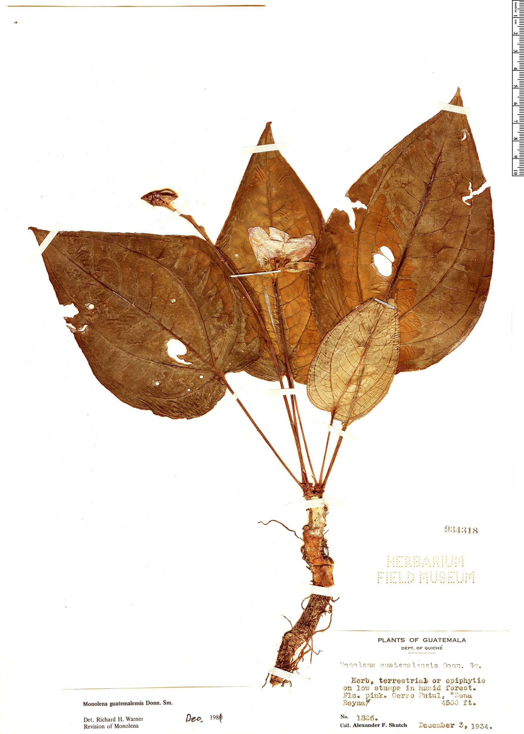 Specimen: Monolena guatemalensis