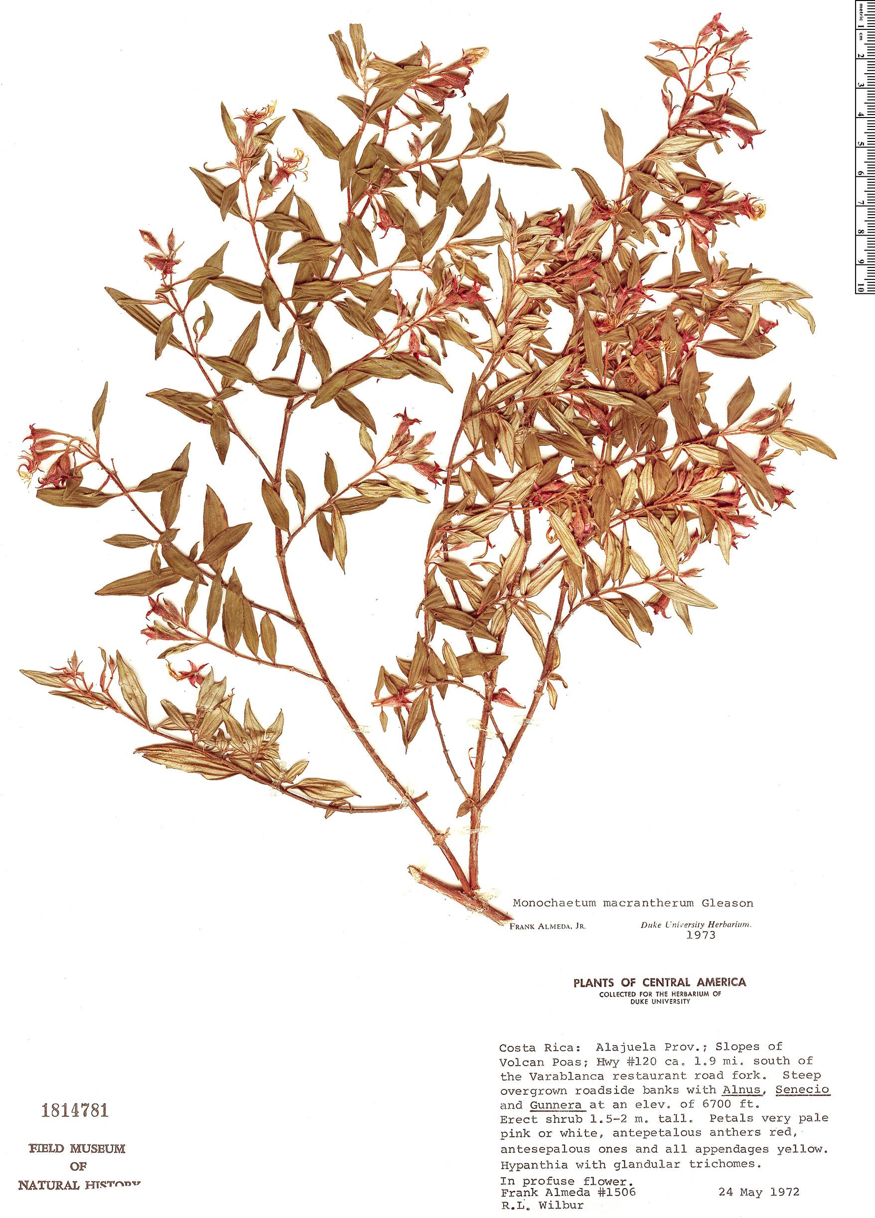 Specimen: Monochaetum macrantherum